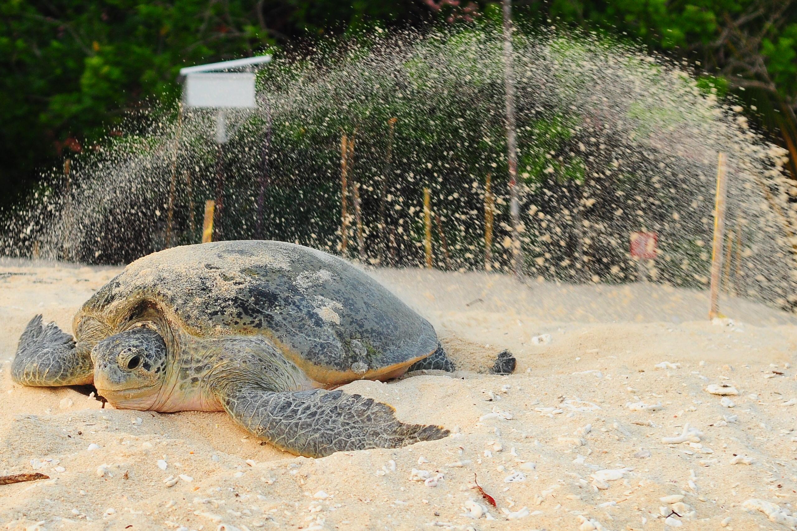 Sea turtles: Universiti Malaysia Terengganu saving Malaysian sea turtles