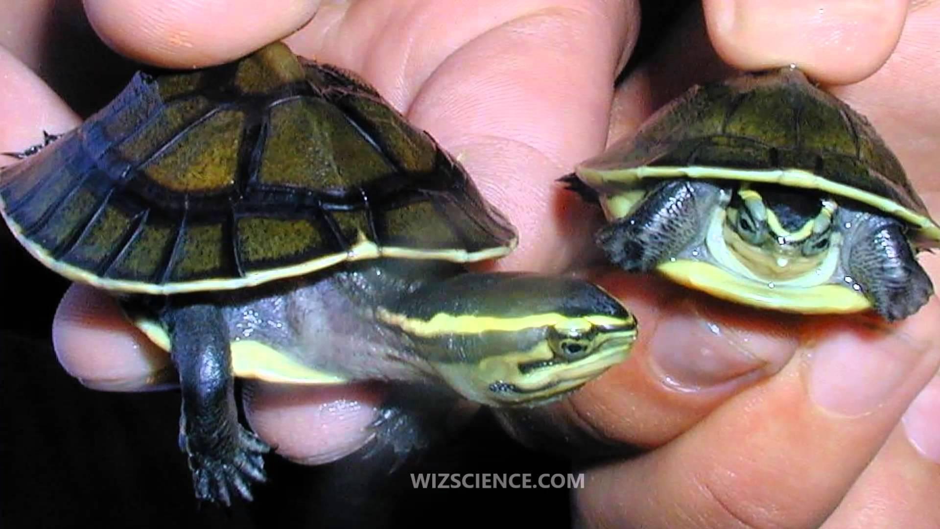 Amboina box turtle - Video Learning - WizScience.com - YouTube