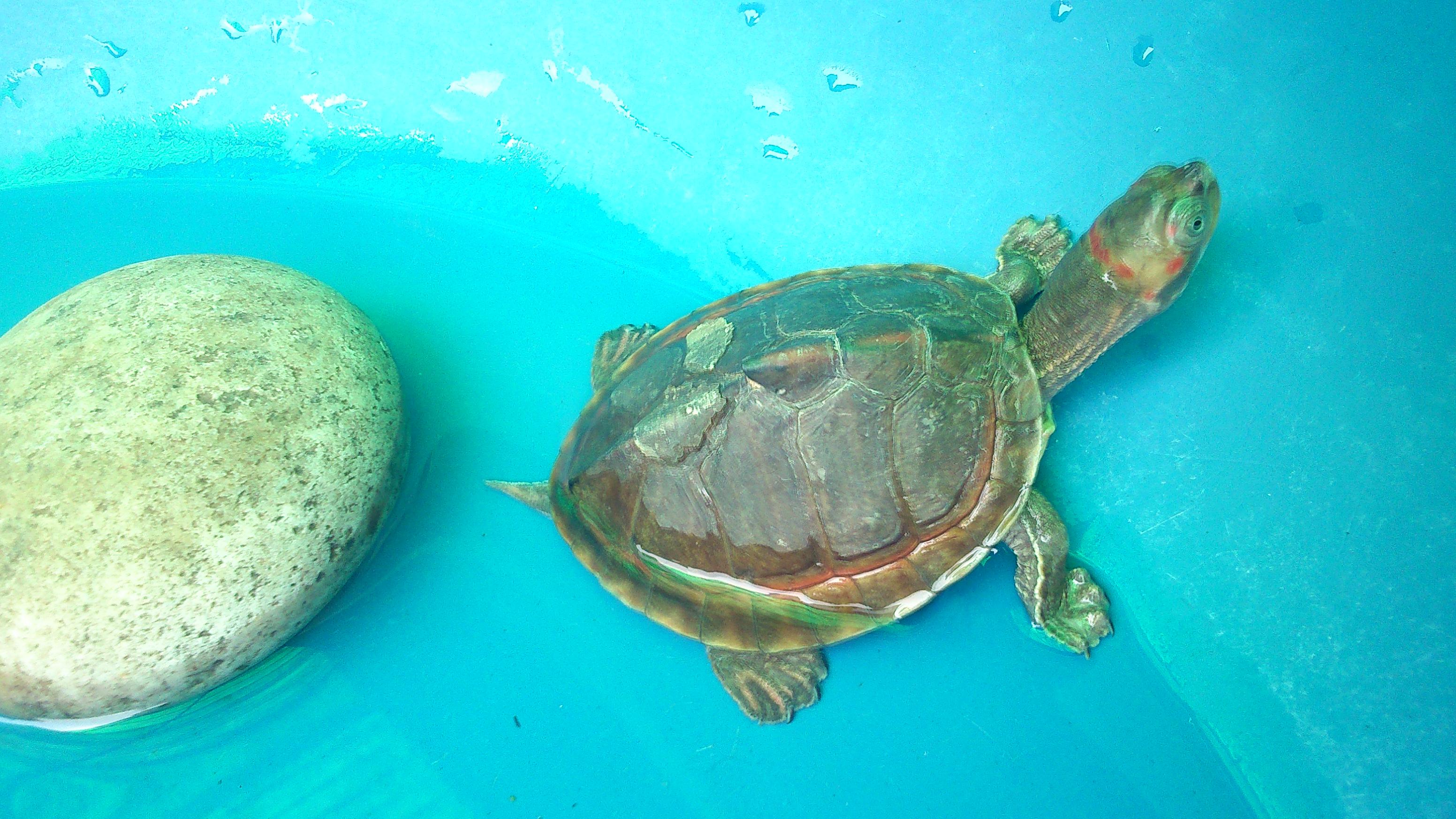 Indian Tent Turtle (Pangshura tentoria) - All Turtles