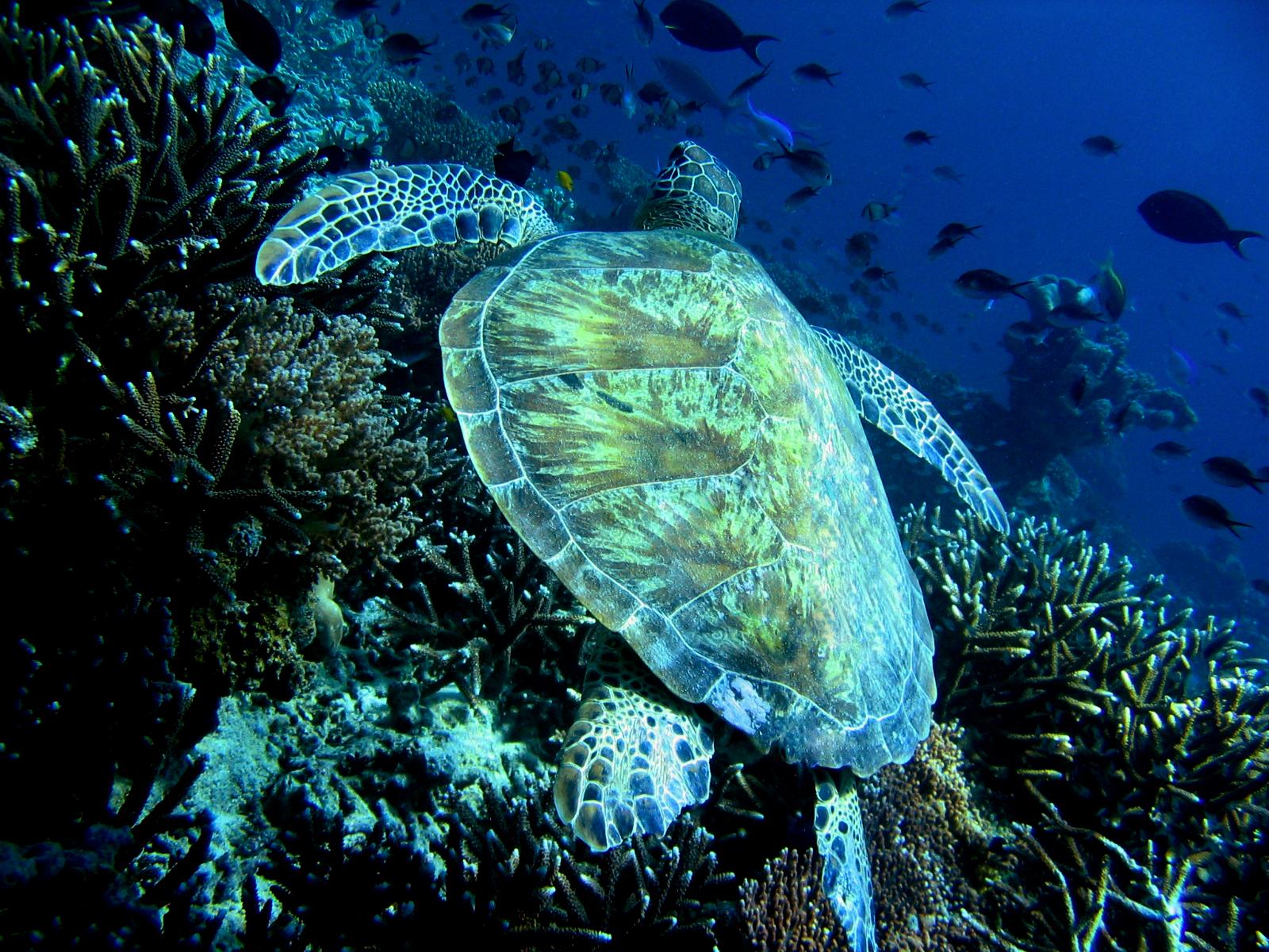 Malaysian turtle, Animals, Aquarium, Bspo06, Fish, HQ Photo