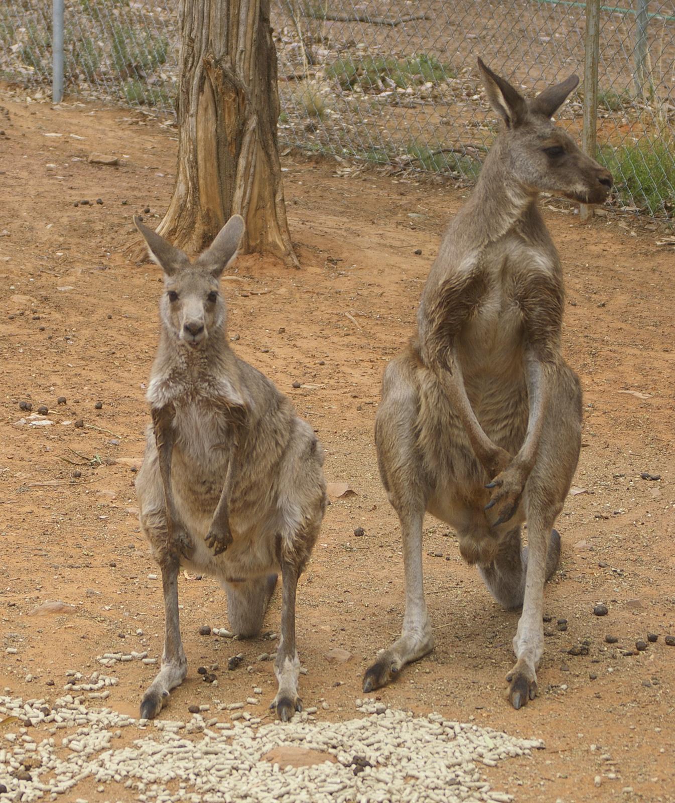 Male grey kangaroo photo