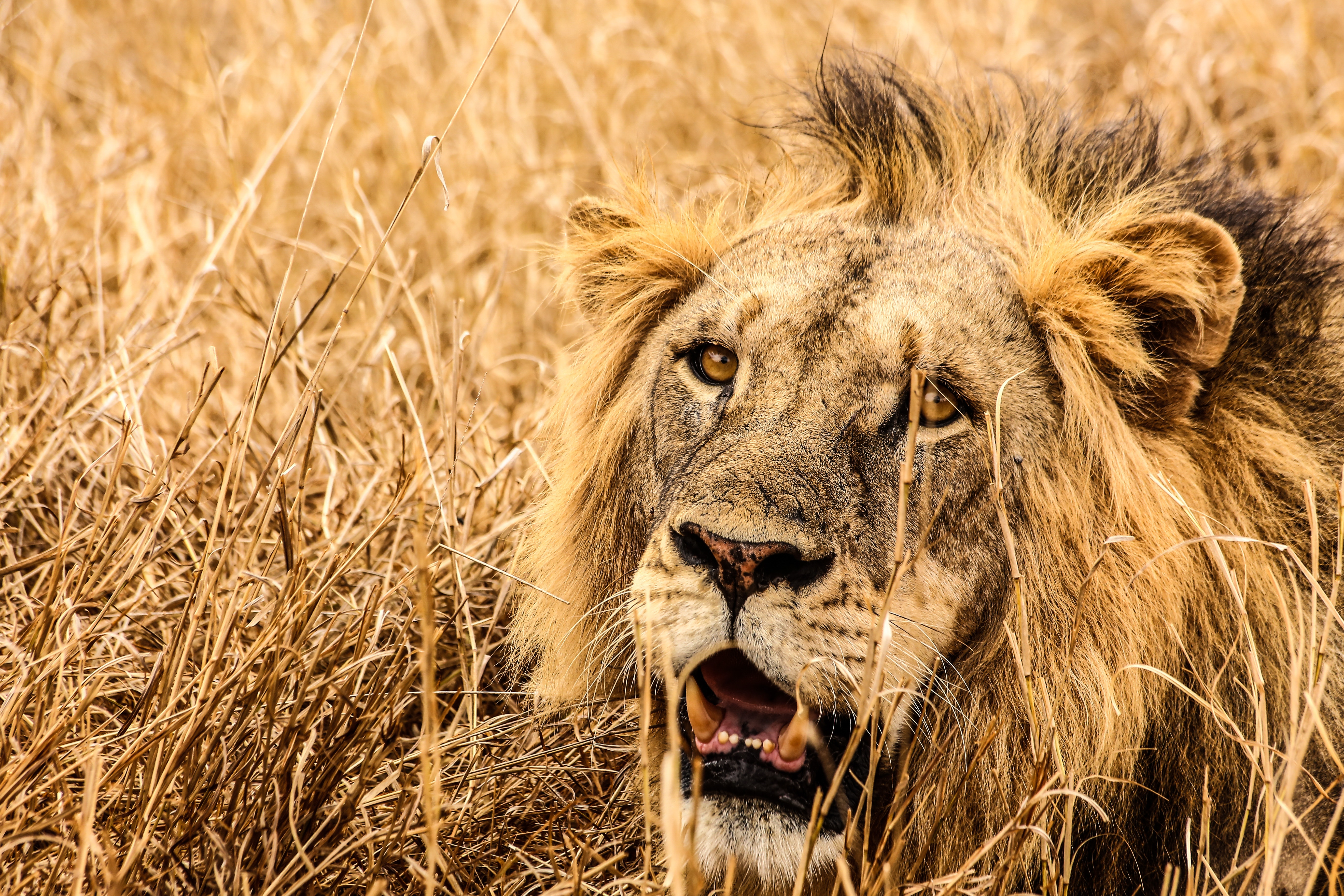 Male lion on brown fields photo