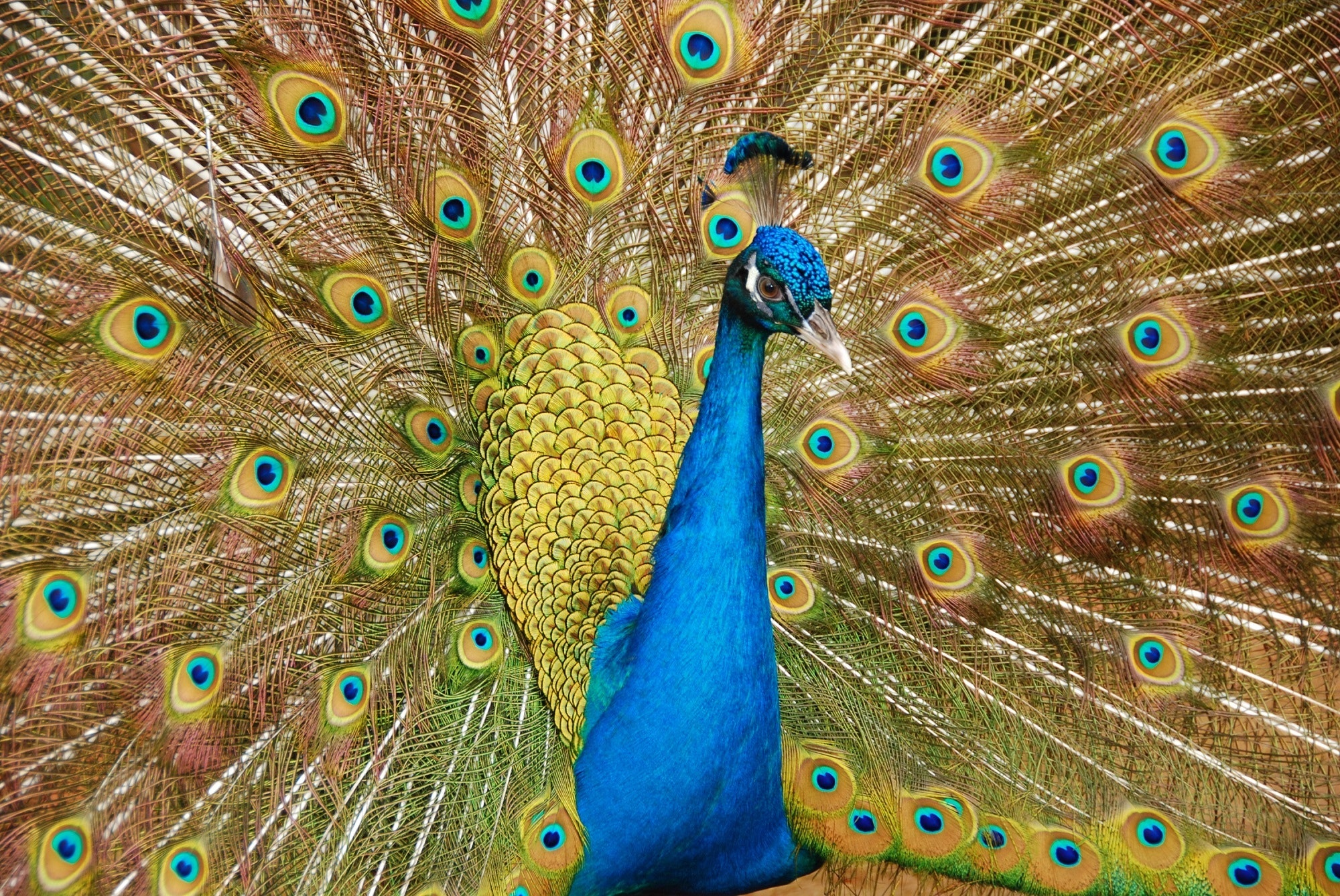 Male peafowl spreading tail photo