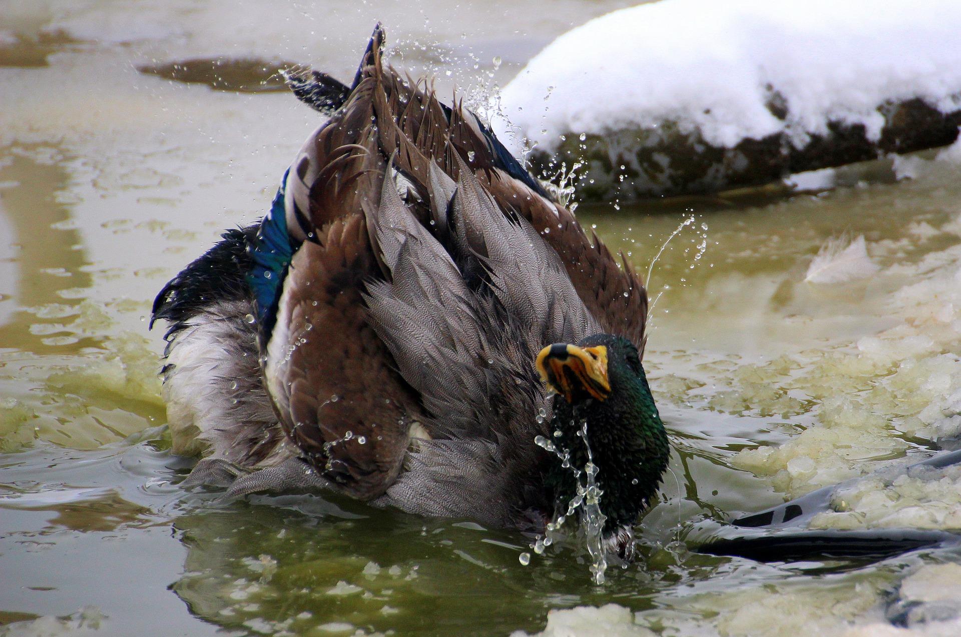 Mallard duck taking a bath photo