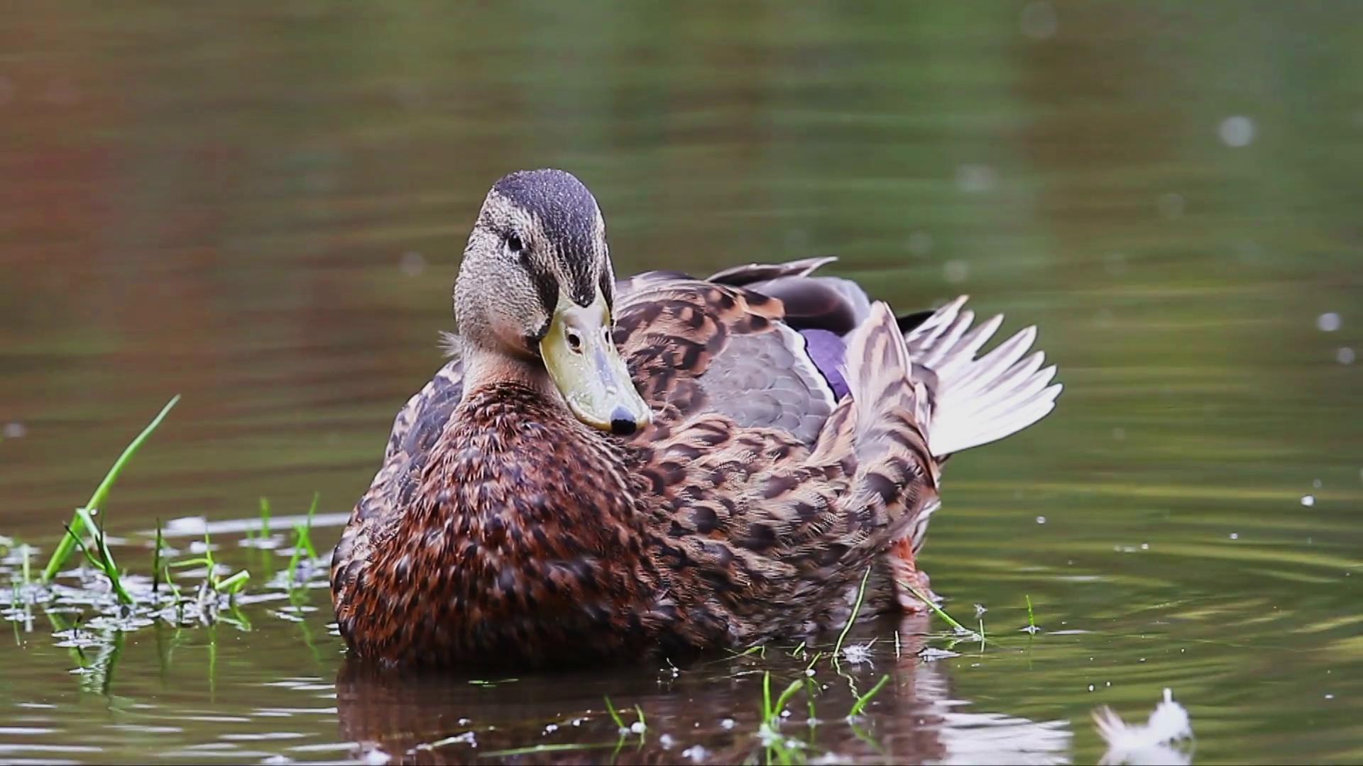 Mallard duck washing photo