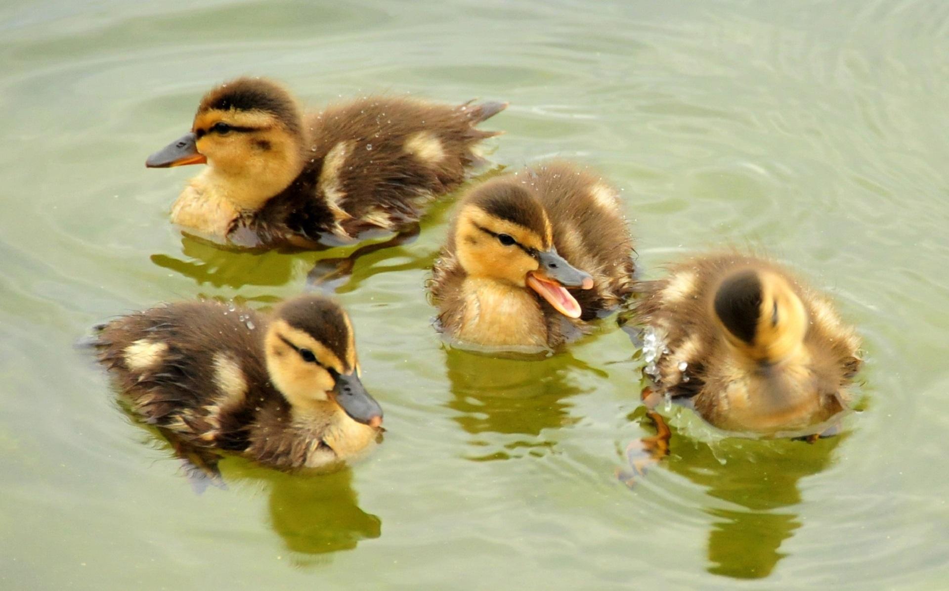 Mallard ducklings photo