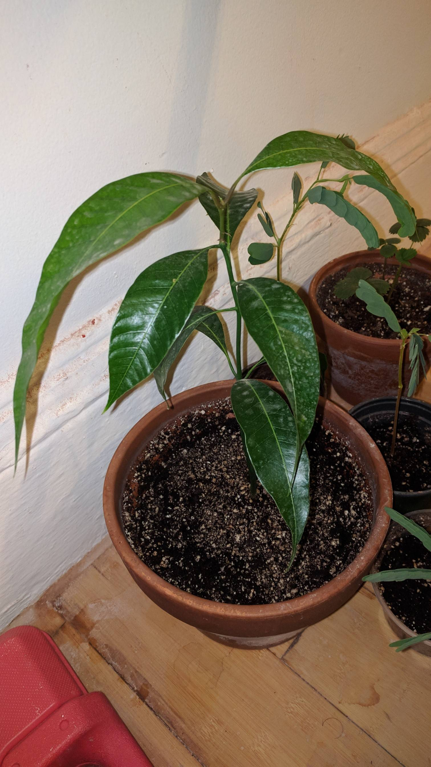 Mango seedling photo