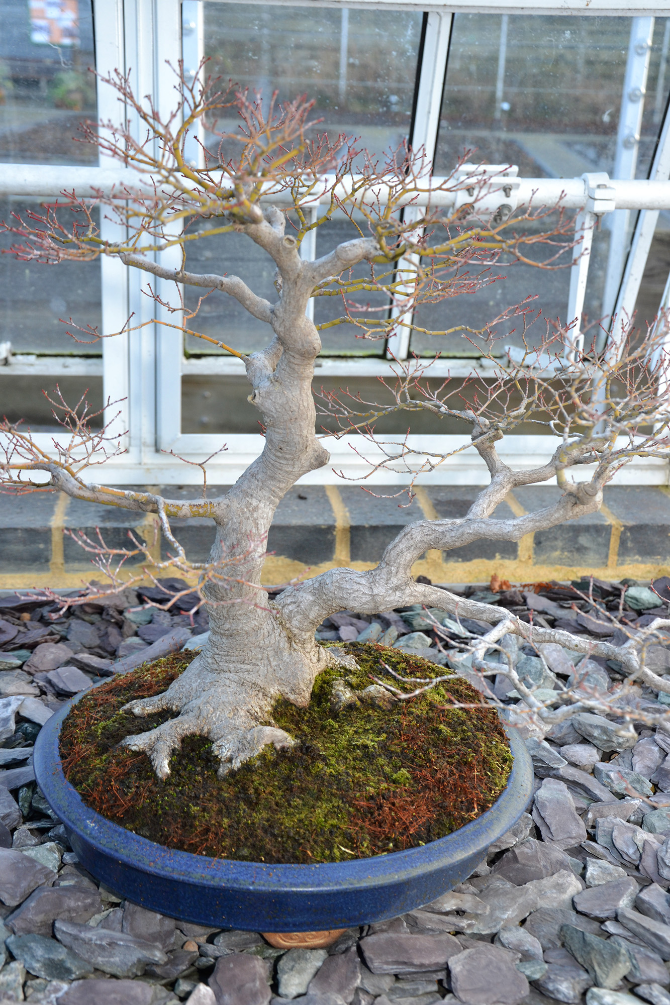 Maple bonsai tree photo