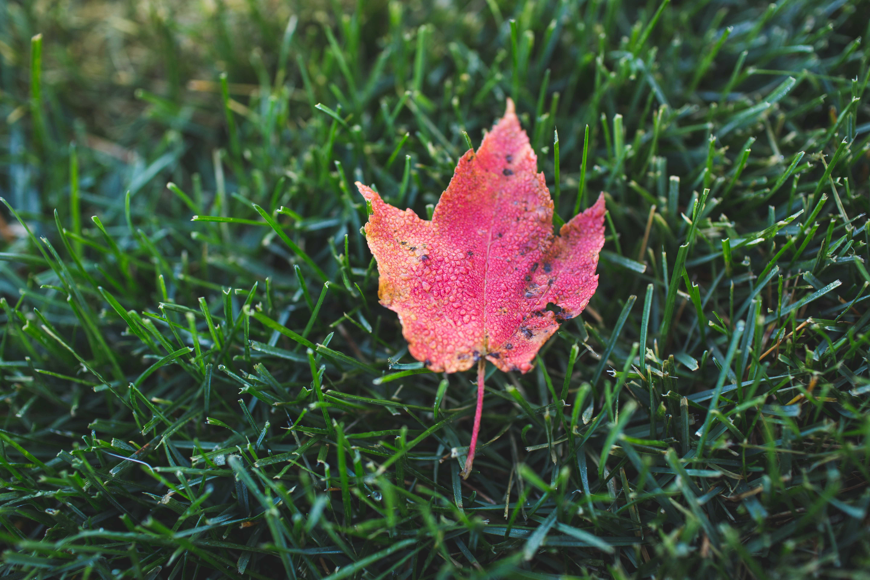 Maple Leaf, Dead, Fall, Fallen, Grass, HQ Photo