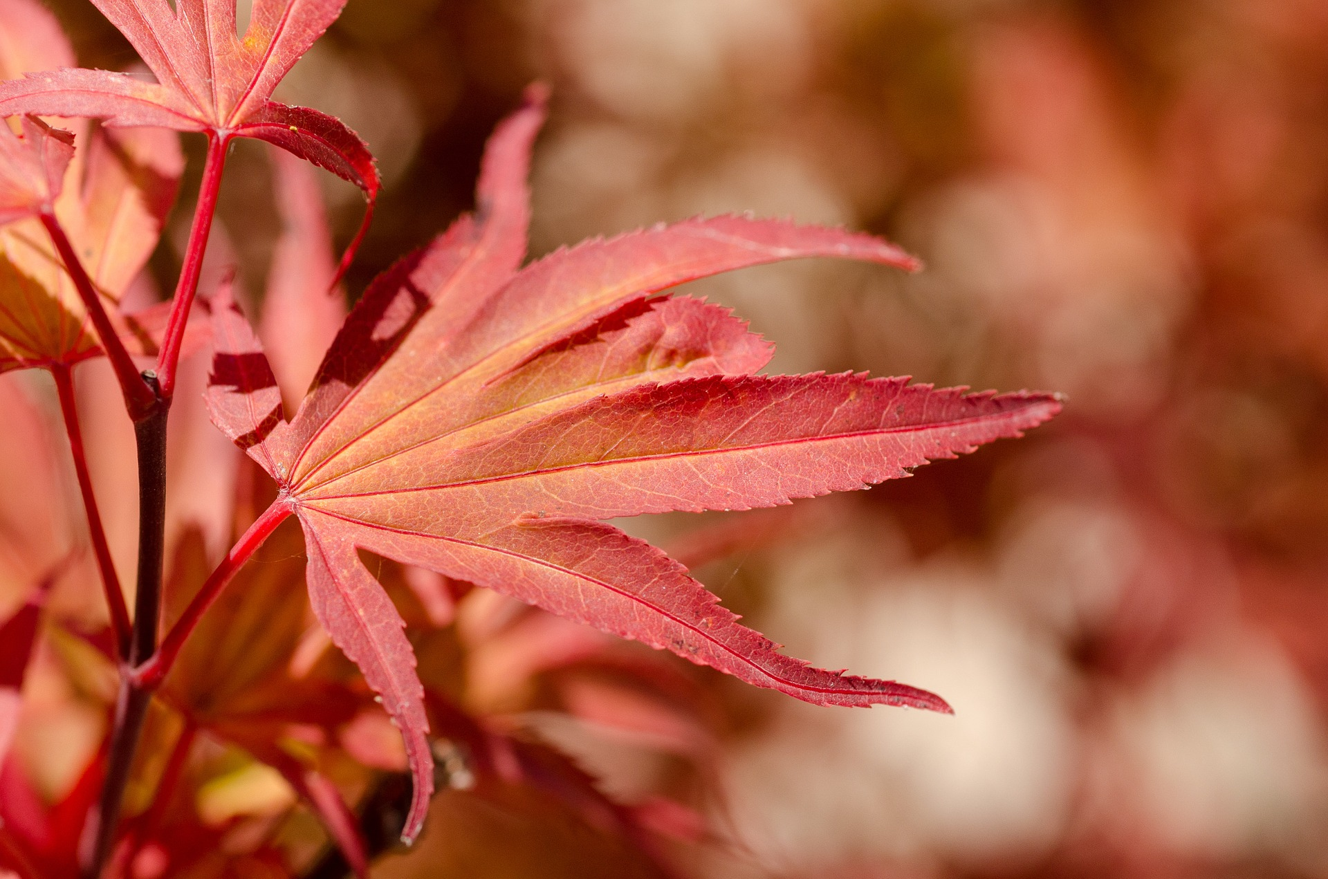 Maple Leaves, Closeup, Fresh, Leaf, Leave, HQ Photo