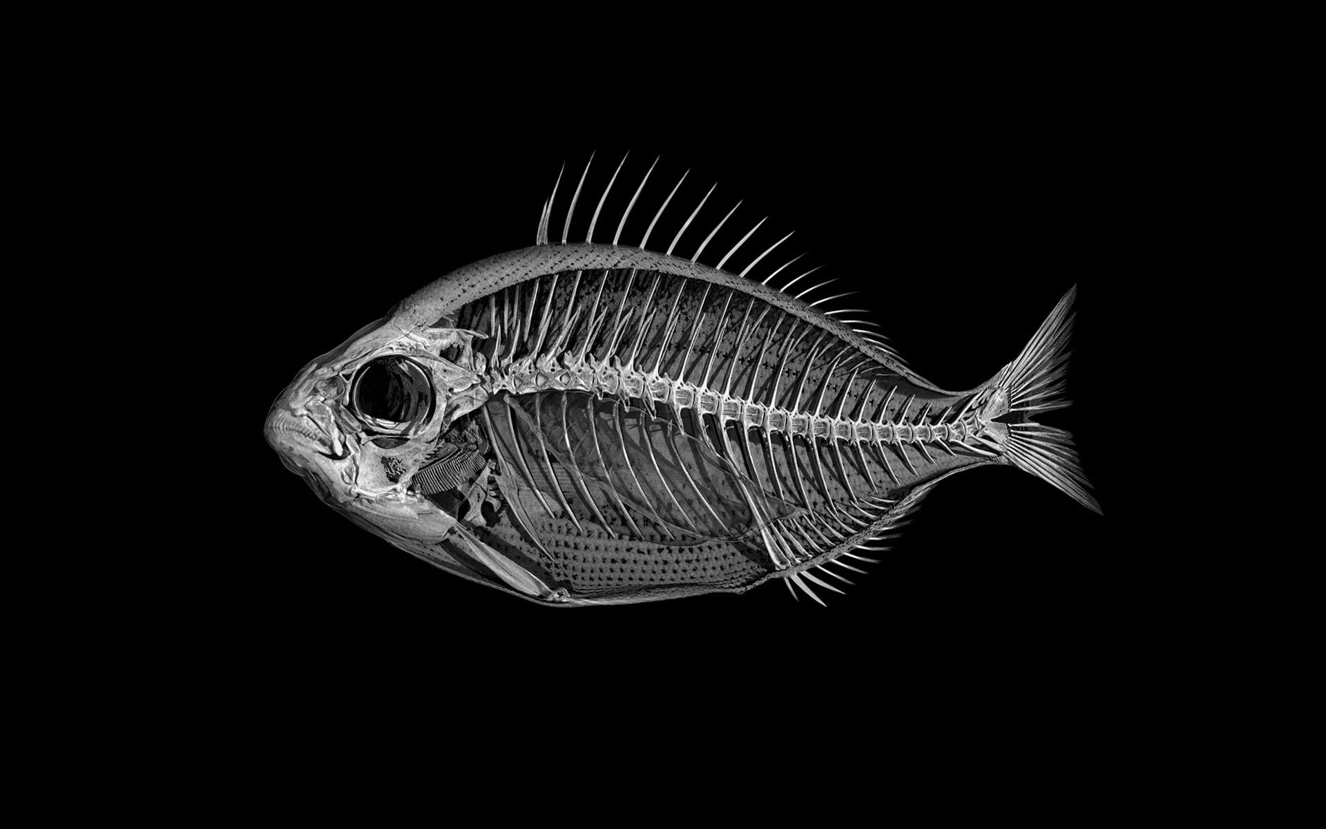 Marble catfish skeleton photo