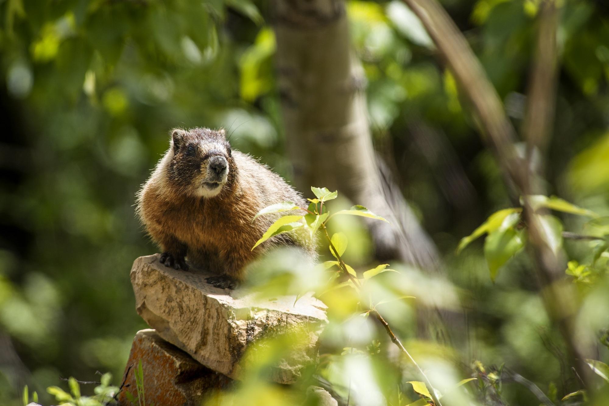 Marmot in the jungle photo