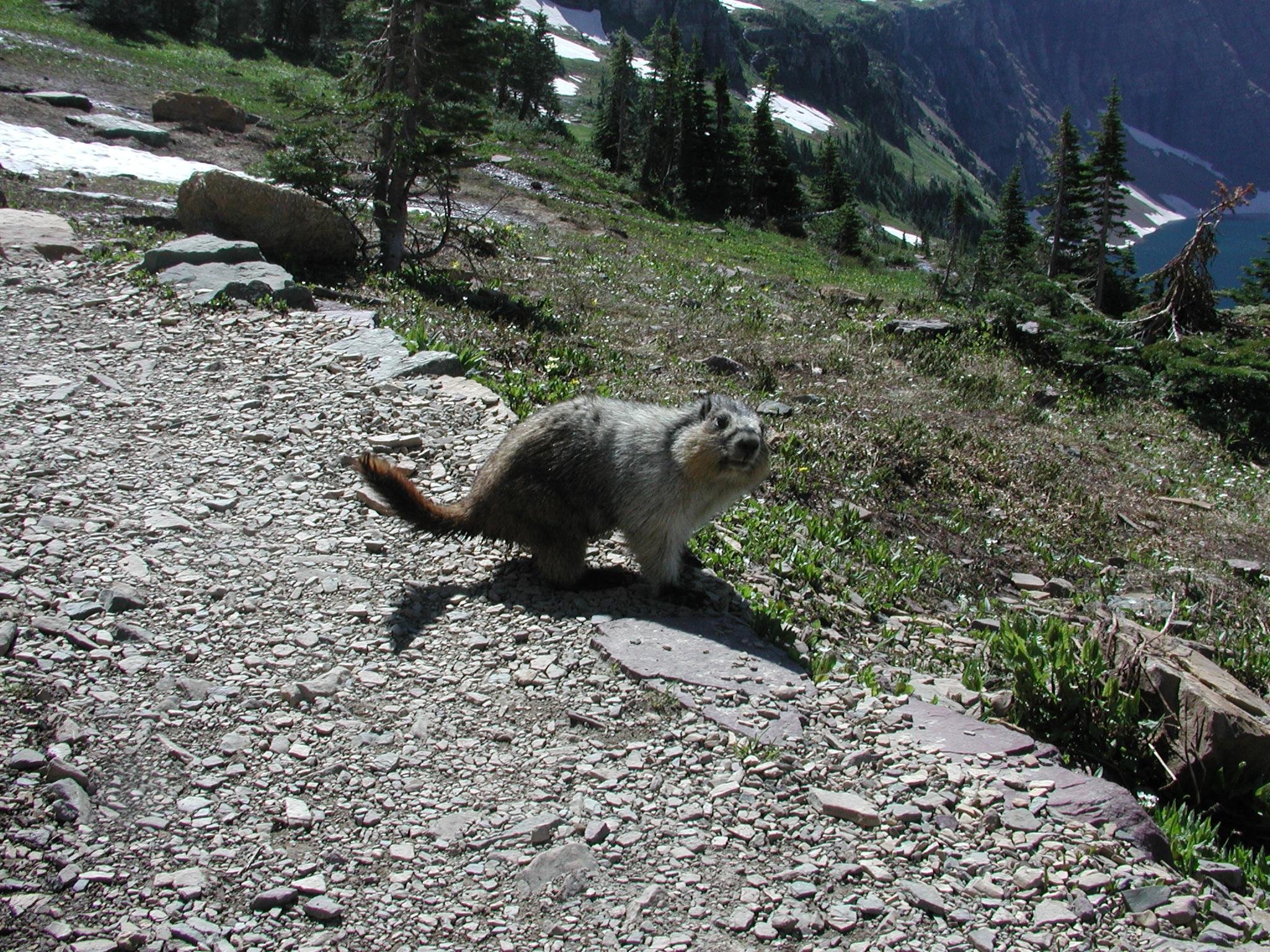 Marmot, coatimundi