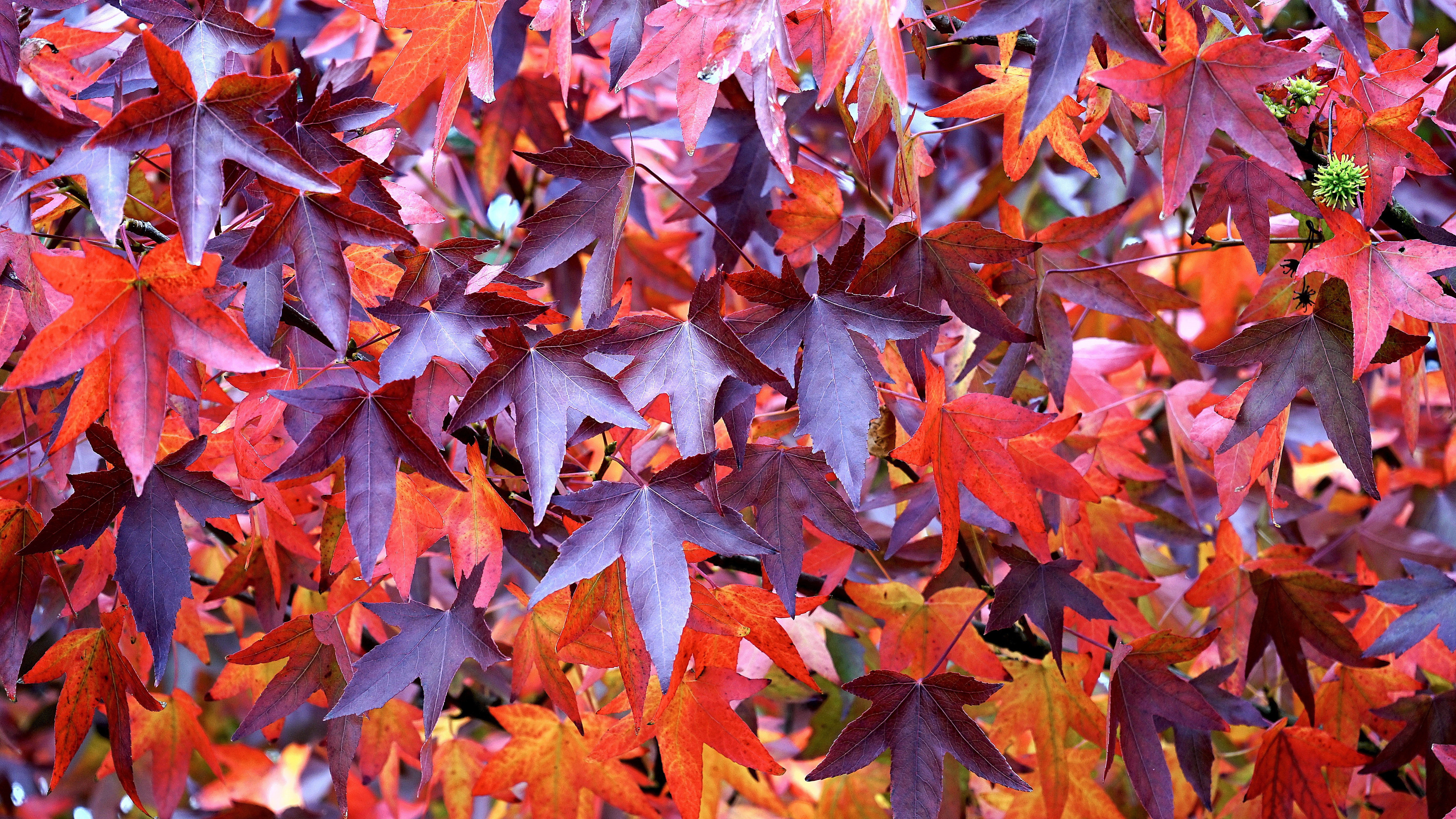 Maroon and red leaf in close up photography
