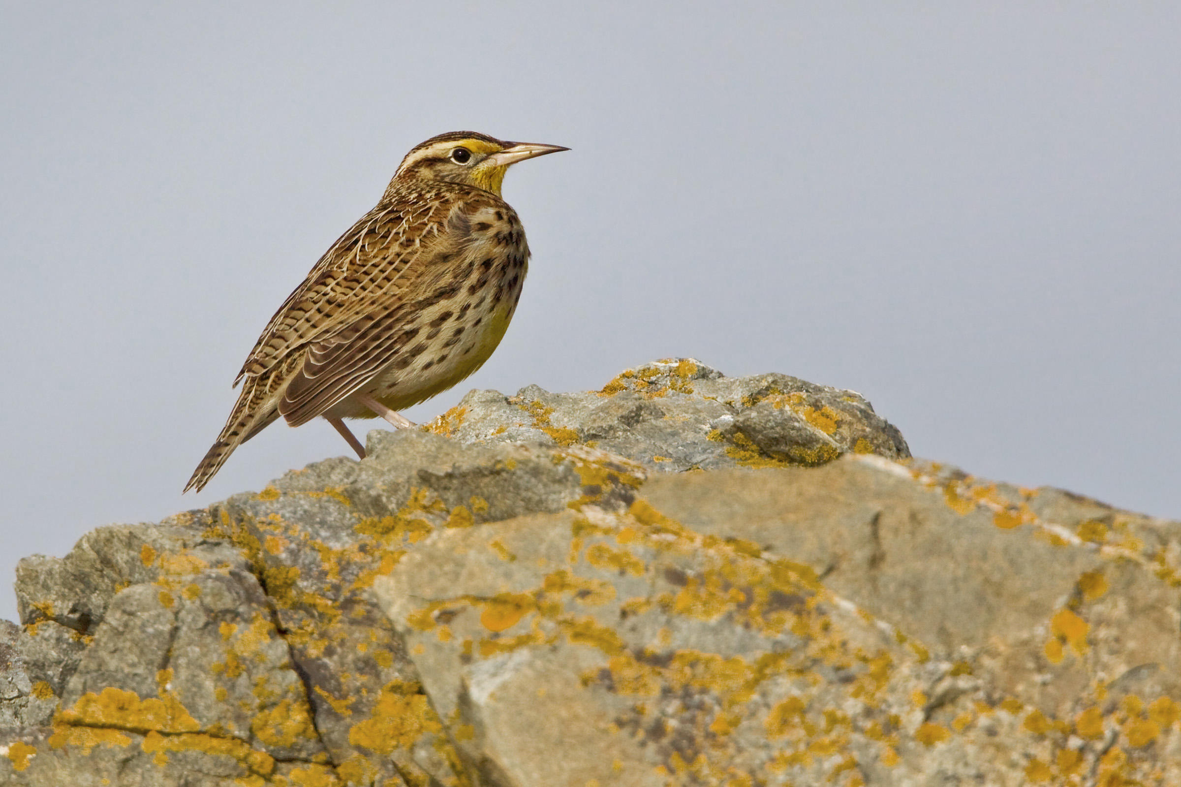 Meadowlark photo
