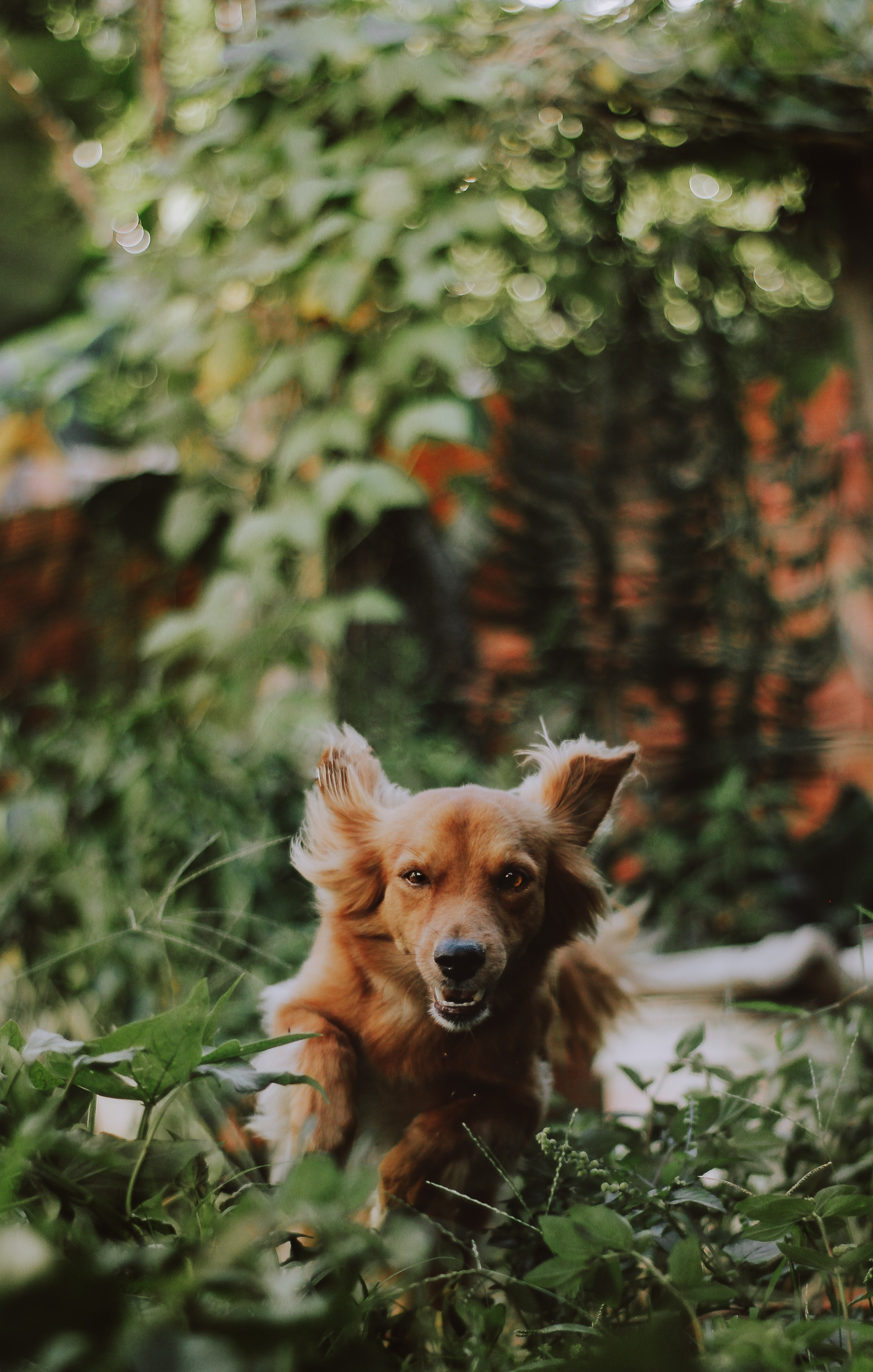 Medium-coated tan dog running on green plants photography