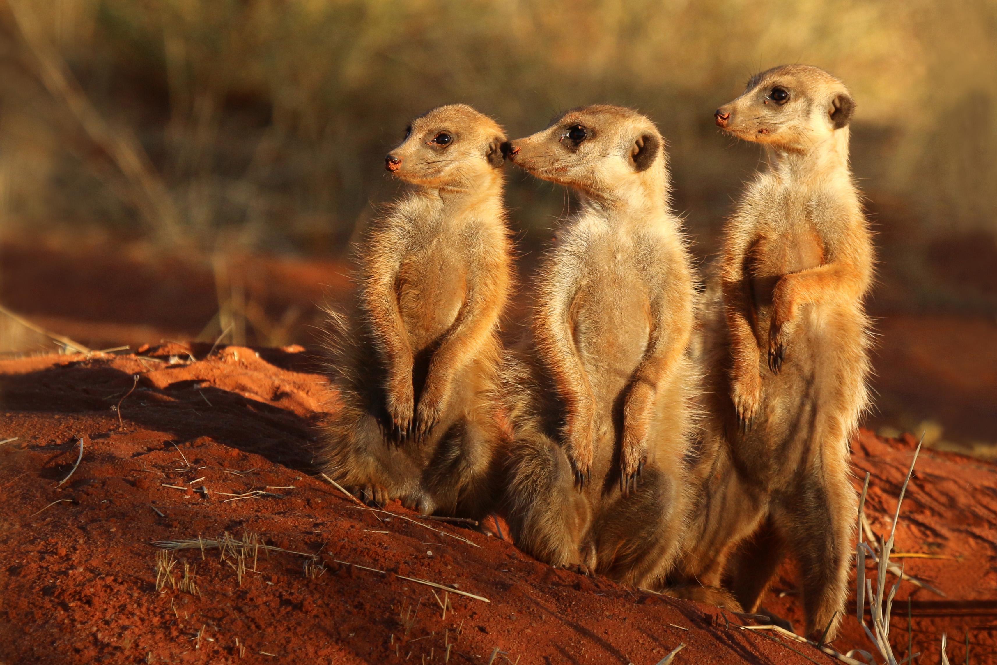 Wild meerkat photo