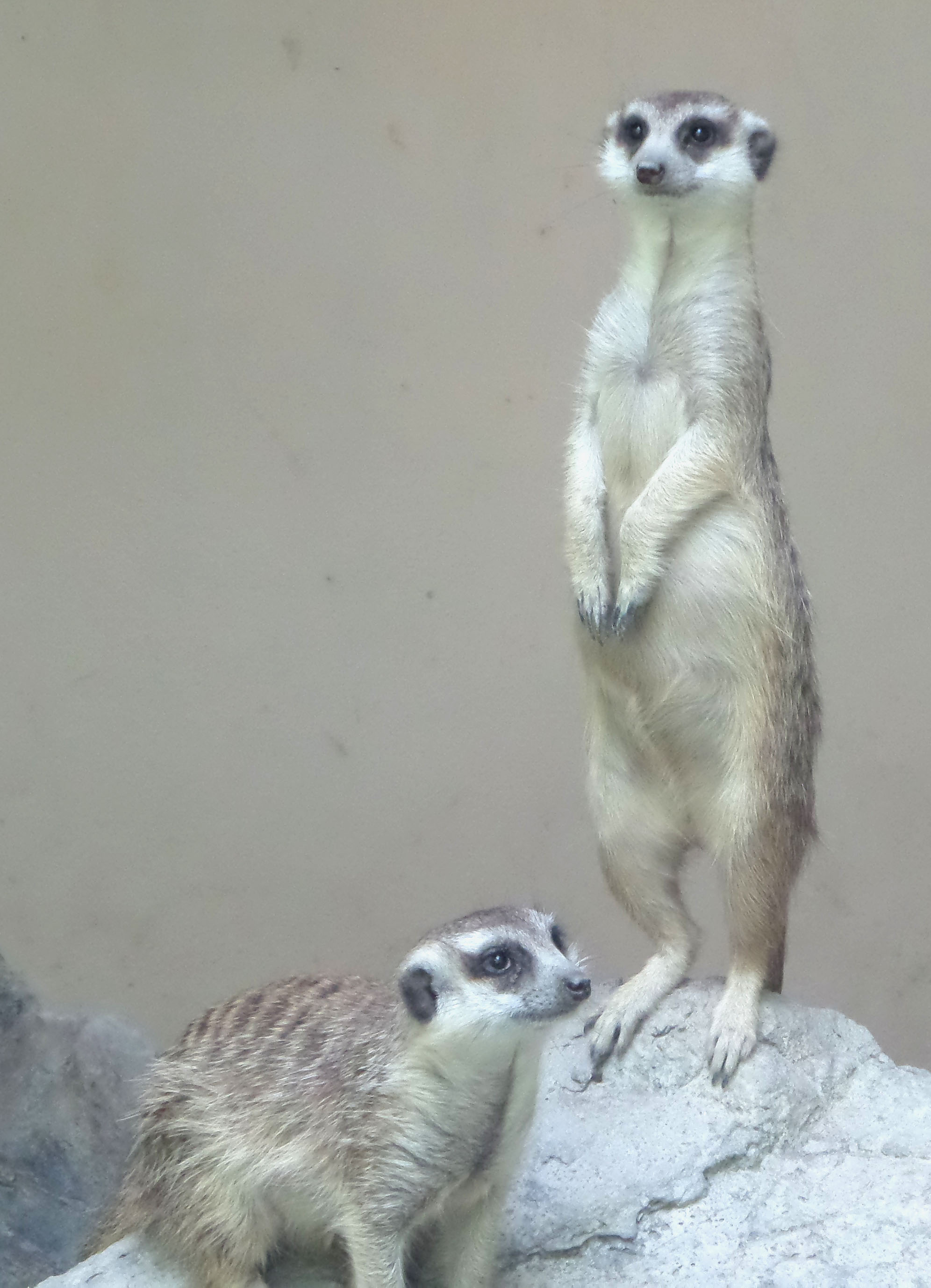 Meerkats, African, Alert, Guarding, Mammals, HQ Photo
