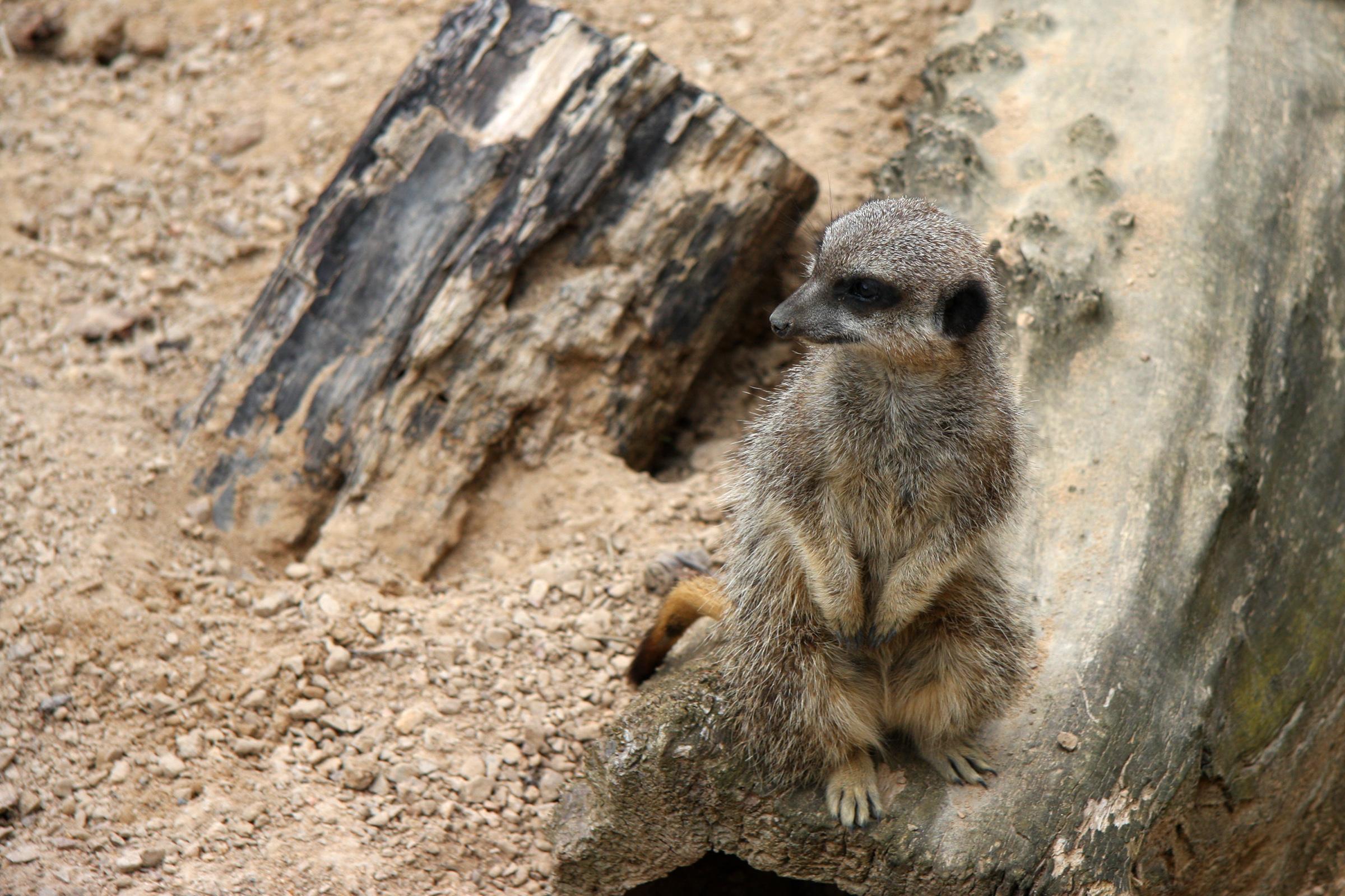 Merkat, Animal, Animals, Conversation, Curious, HQ Photo