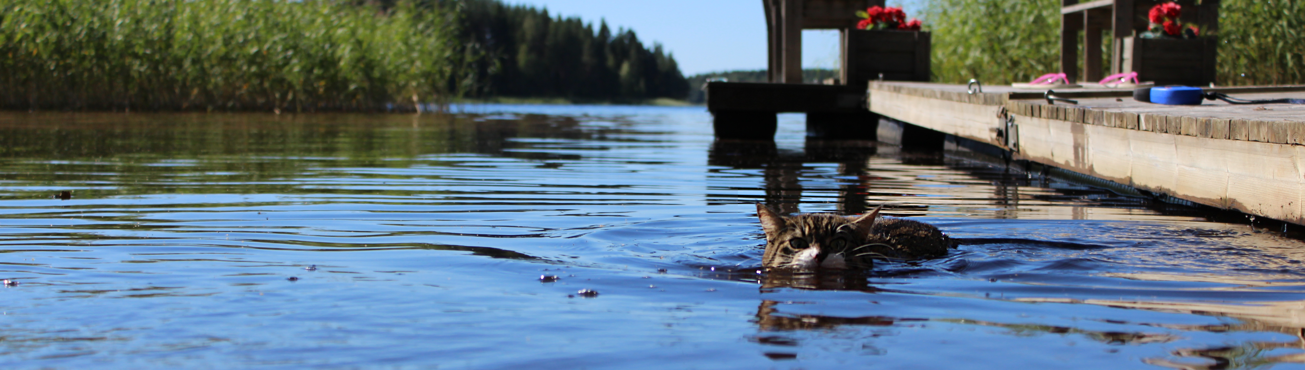 Miisa having a quick swim.., Animal, Grey, Tabby, Pet, HQ Photo