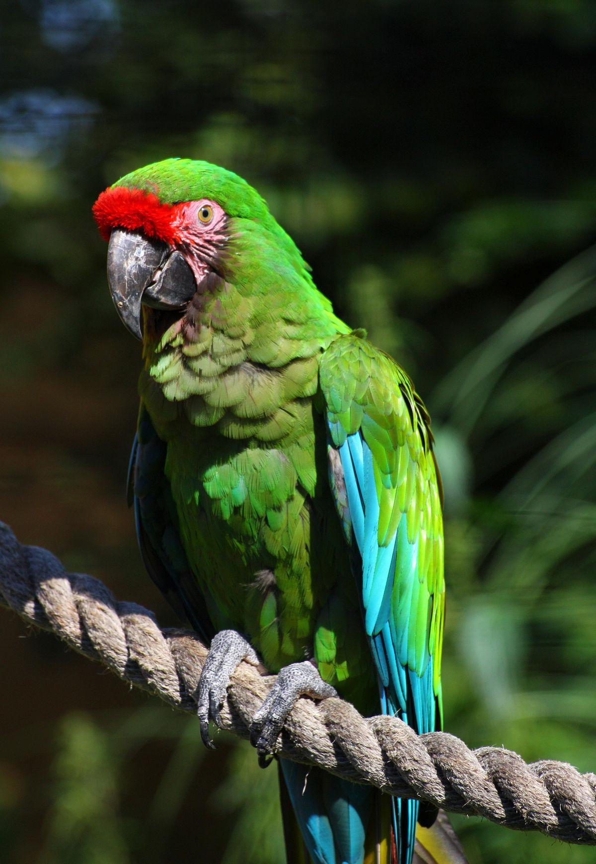 Military macaw - Wikipedia