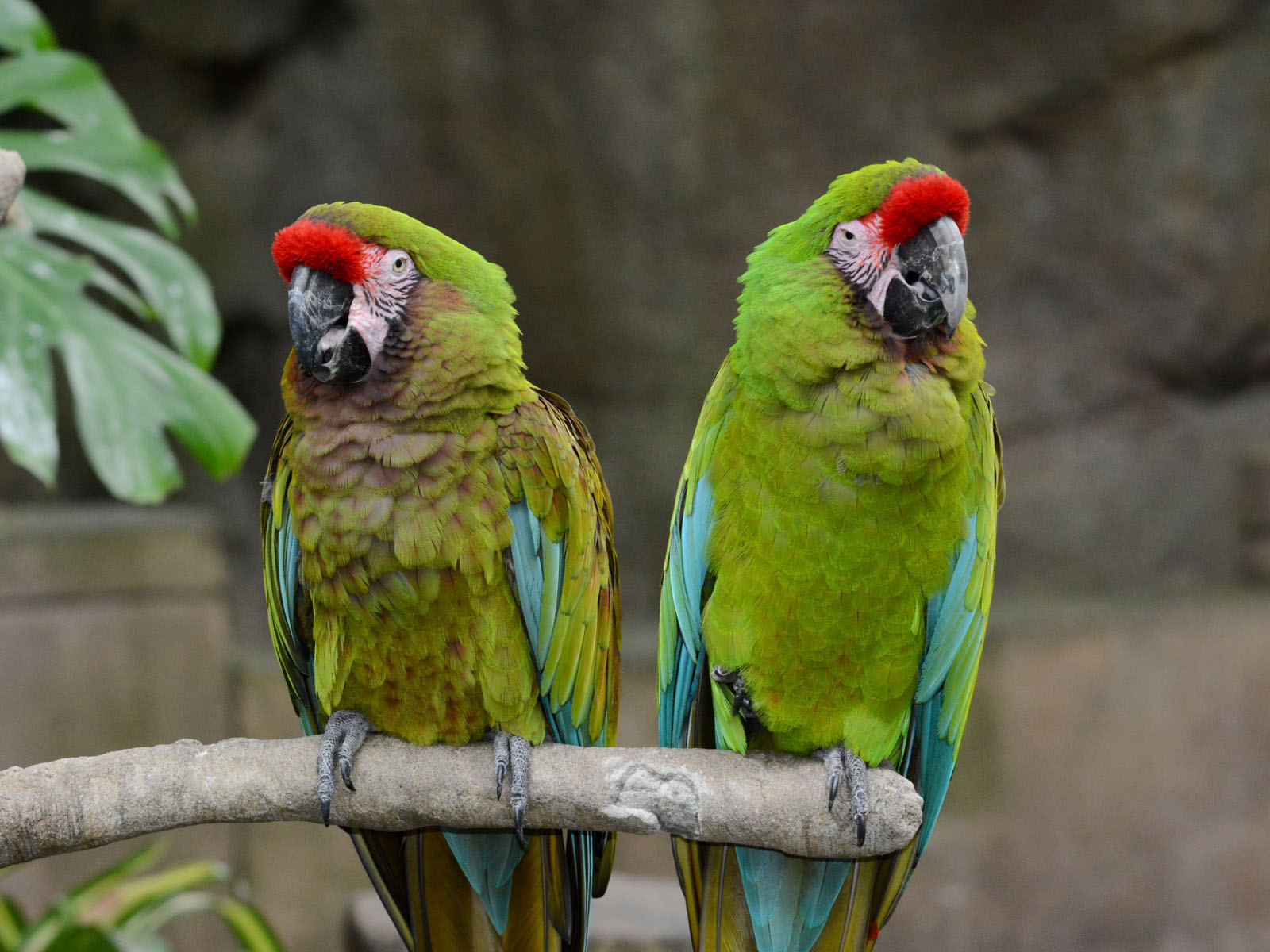 The Online Zoo - Military Macaw