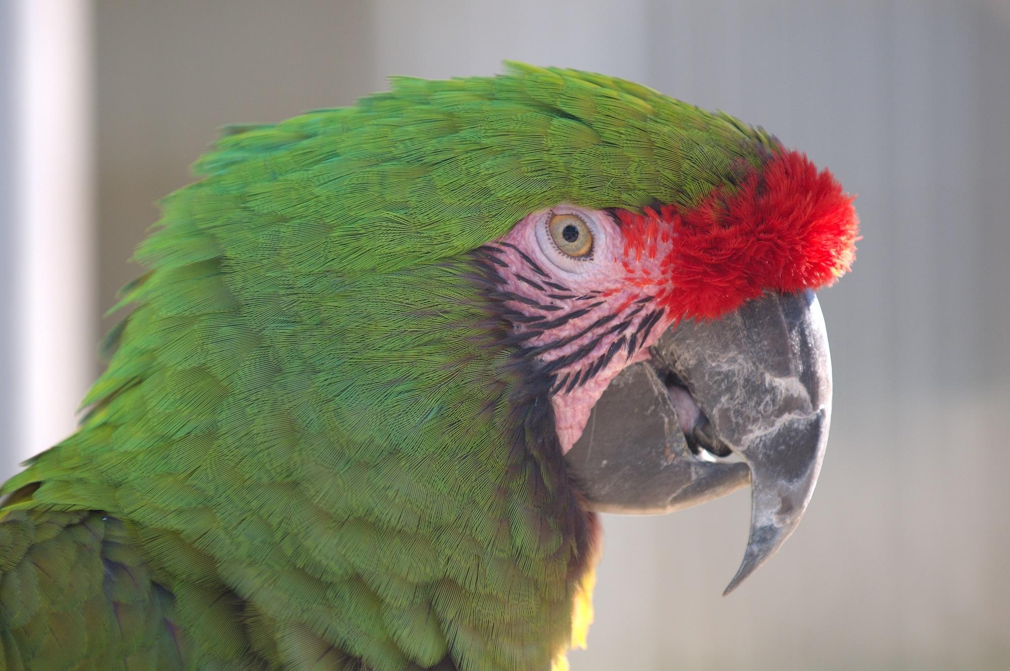 Military Macaw, Animal, Bird, Green, Macaw, HQ Photo