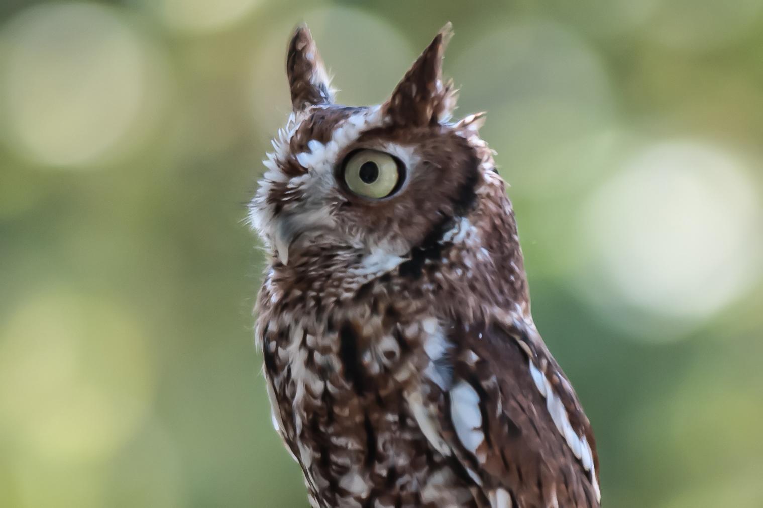 Mini owl, Adult, Raptor, Owl, Perching, HQ Photo