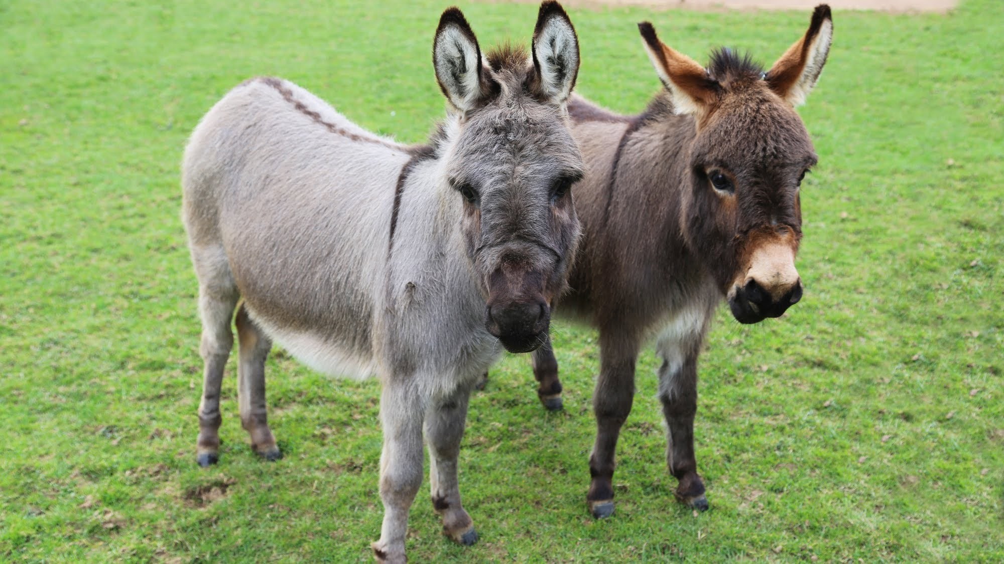 Meet Trevor and Tulip the miniature donkeys! - YouTube