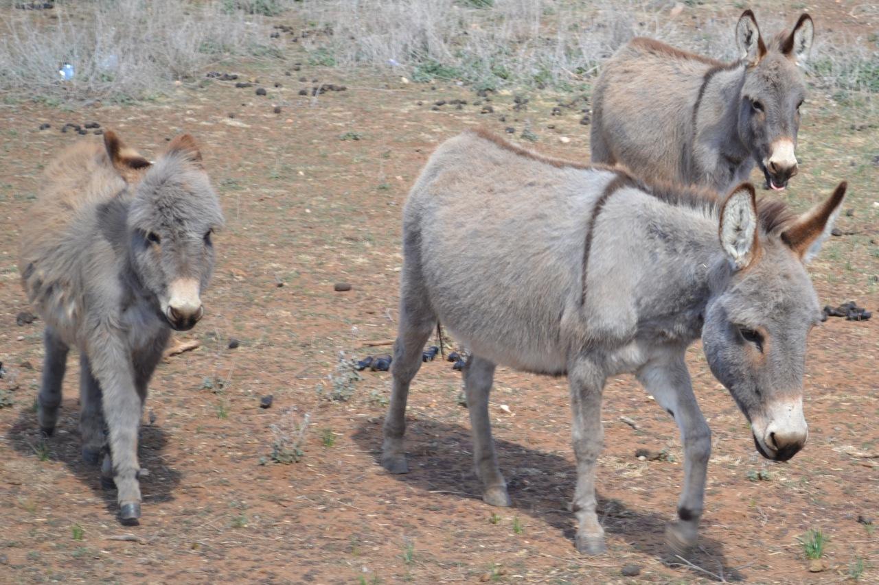 Miniature Donkeys, Cute, Farm, Live, Stock, HQ Photo