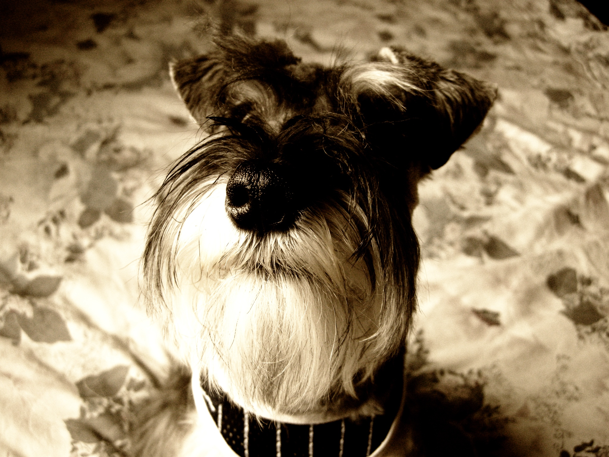 Miniature schnauzer photo