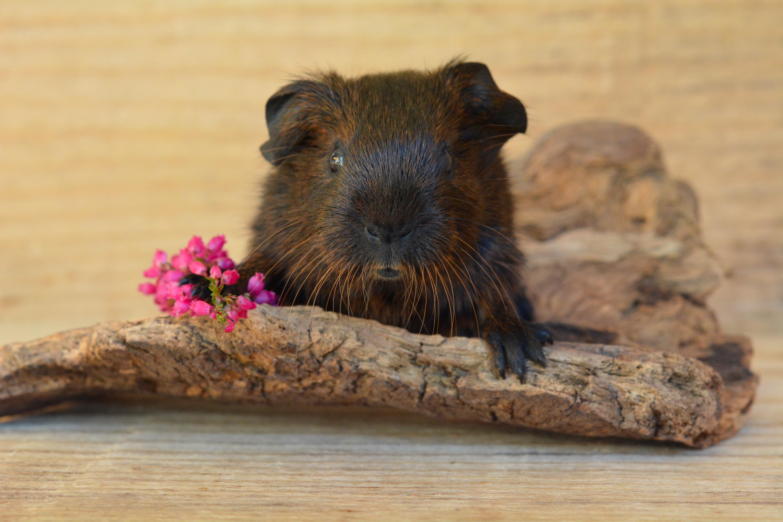 Miniature, Guinea pig