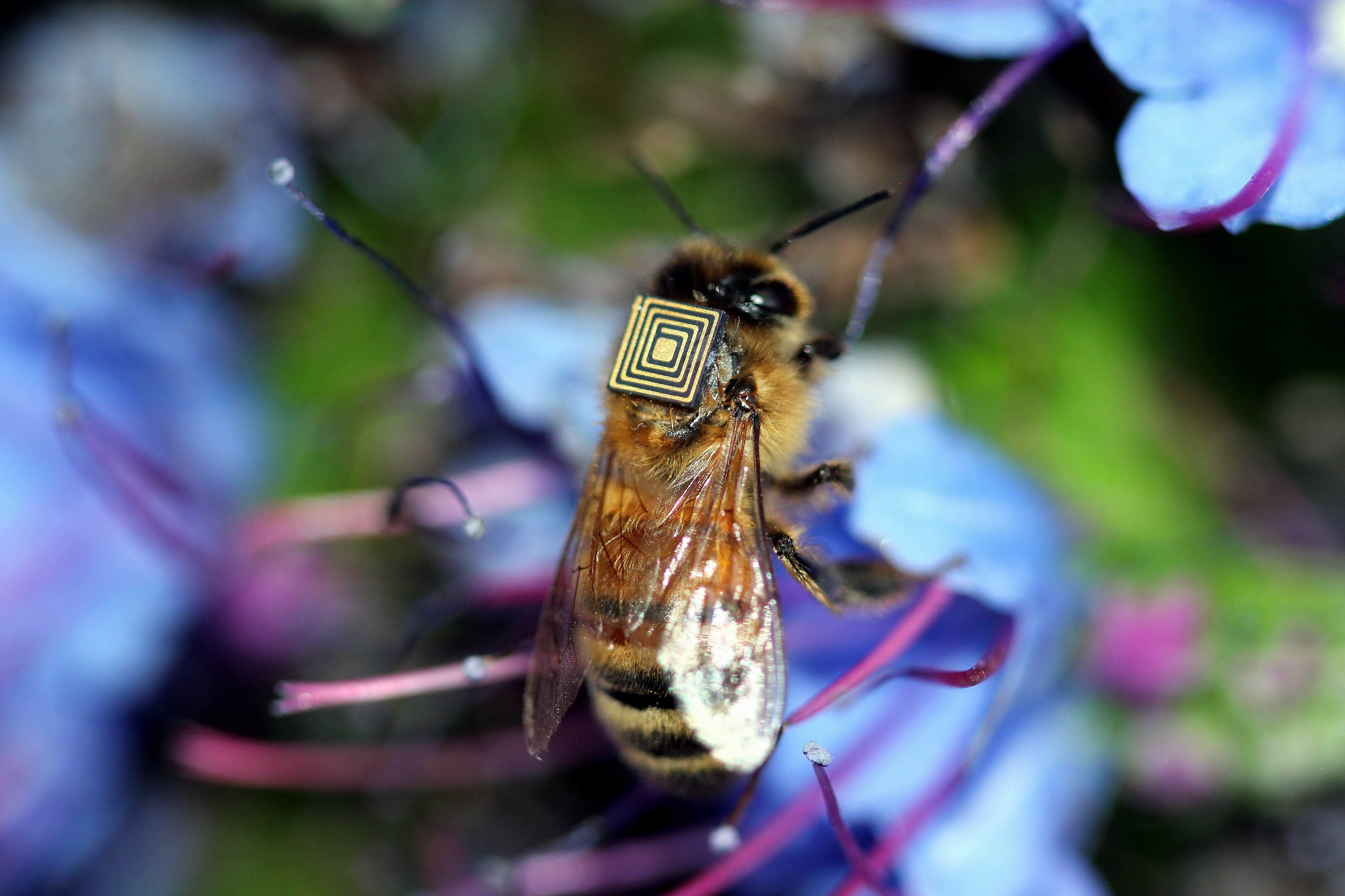 Australian Minute Bee (19 Wallpapers) – Free Wallpapers