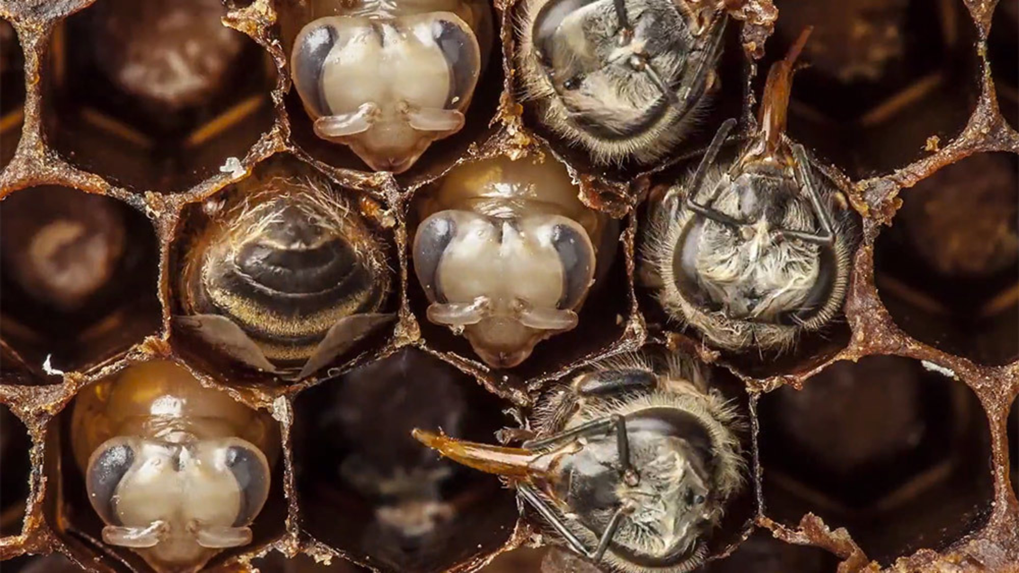 From egg to the air: 21 days of bee development condensed into one ...