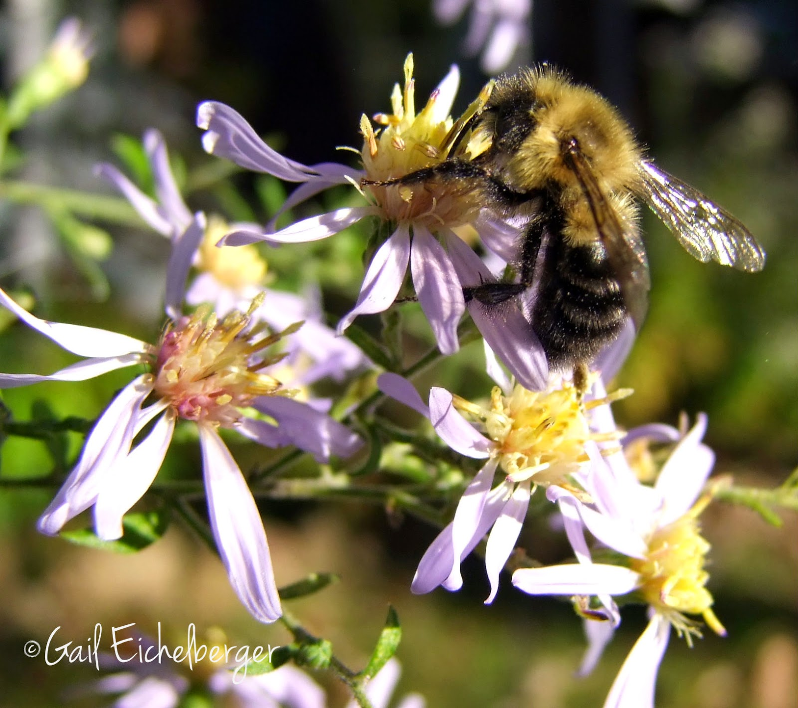 clay and limestone: Fall is the best time to bee in the garden!