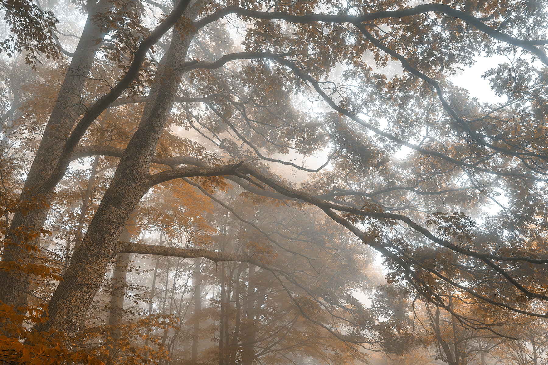 Misty forest branchscape - sepia euphoria hdr photo