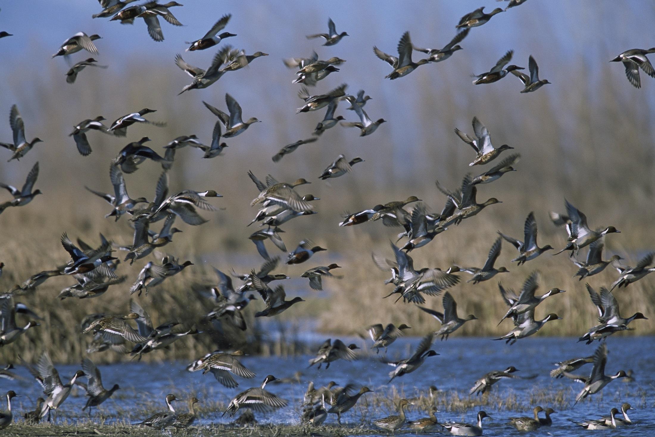 Mixed Duck Flock, Animal, Bird, Duck, Flock, HQ Photo