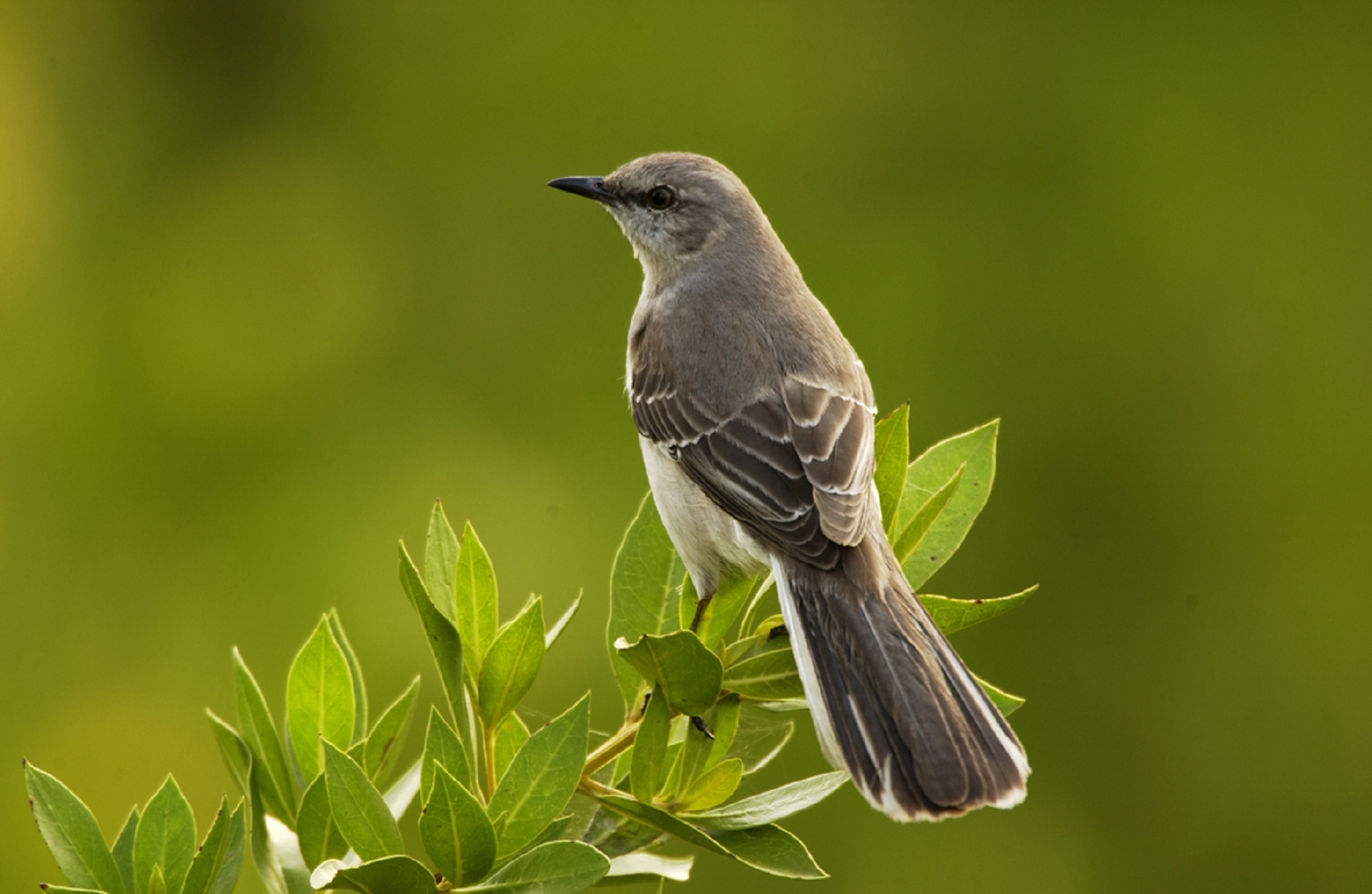 Mockingbird on the branch photo
