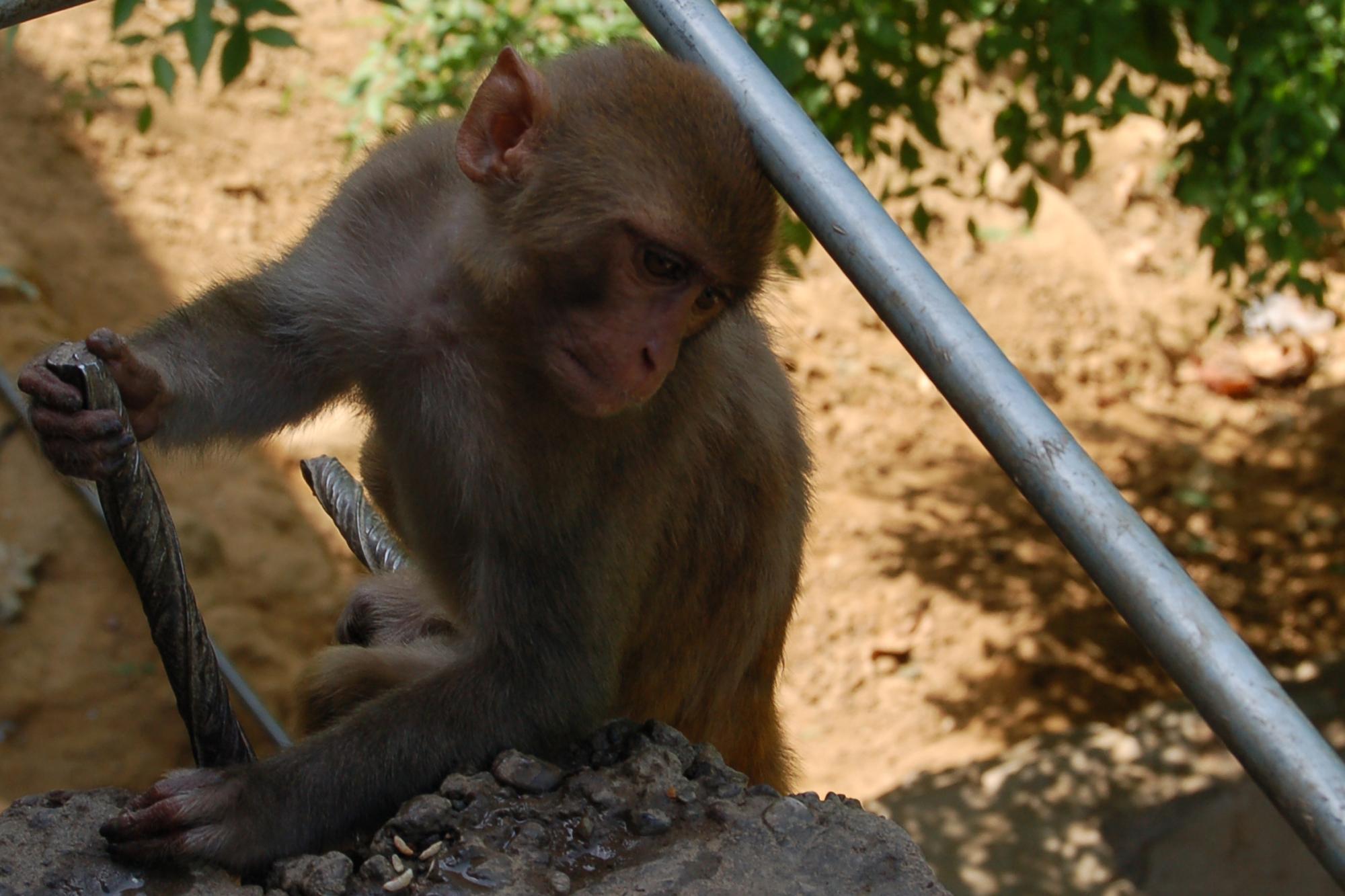 Monkey, Animal, Ape, Bars, Bspo06, HQ Photo