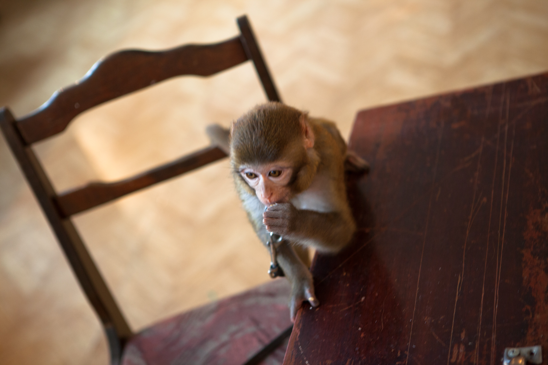 monkey, Animal, Table, Sitting, Primate, HQ Photo