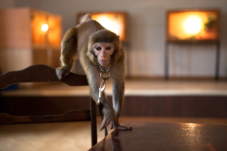 monkey, Animal, Table, Sitting, Primate, HQ Photo