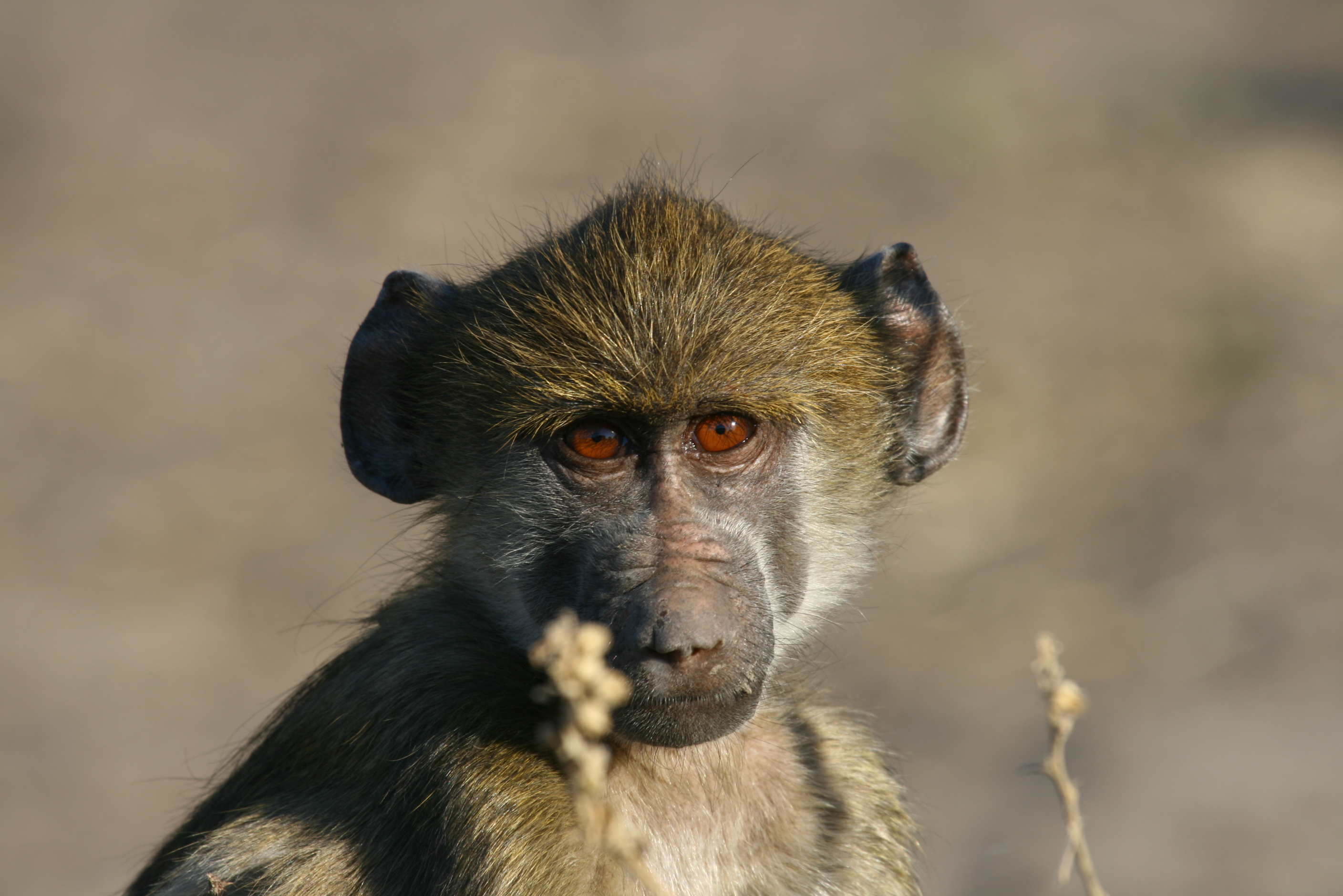Monkey, Animal, Ape, Head, Portrait, HQ Photo