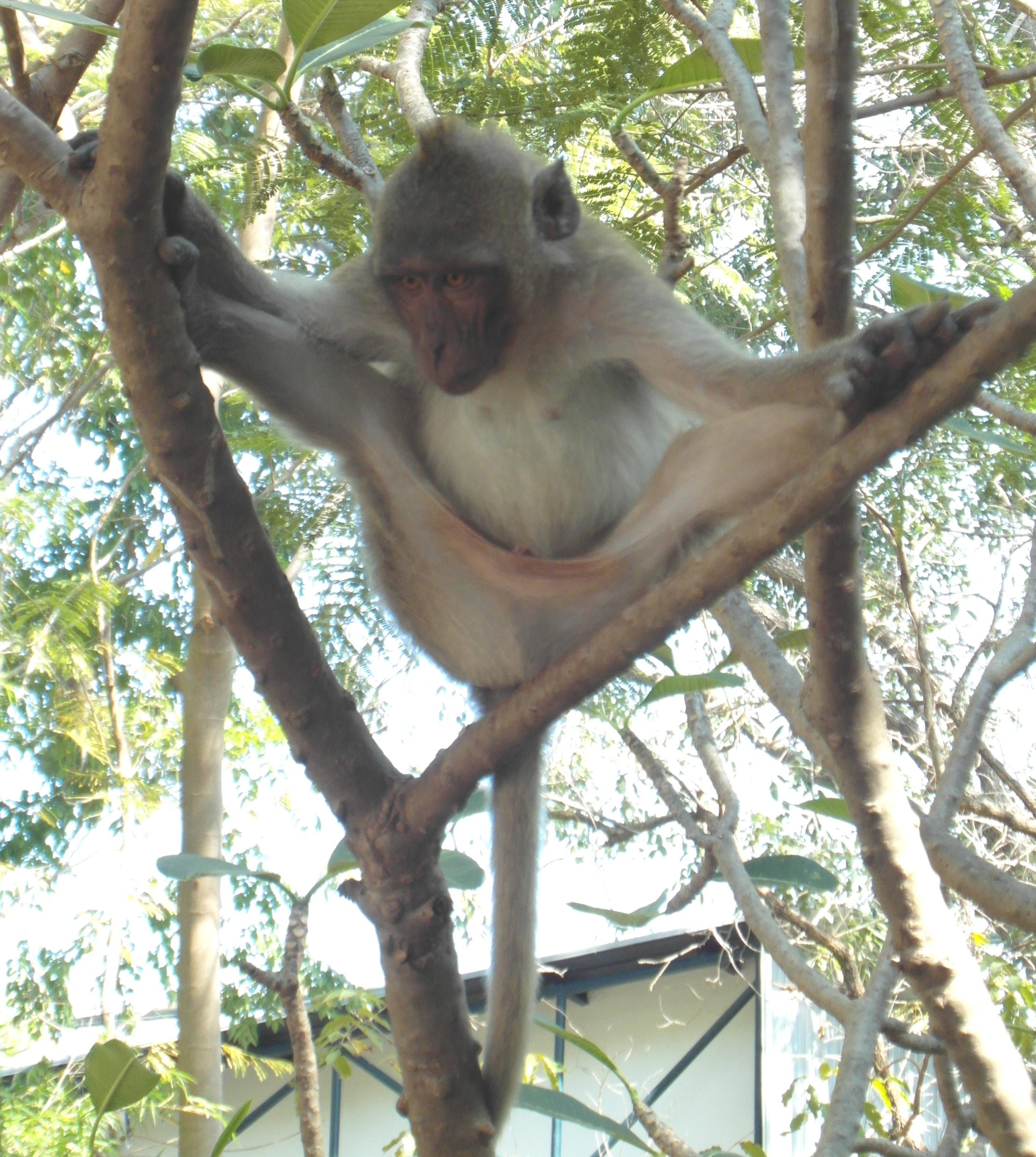 Monkey doing the splits, Asia, Asian, Branch, Doing, HQ Photo