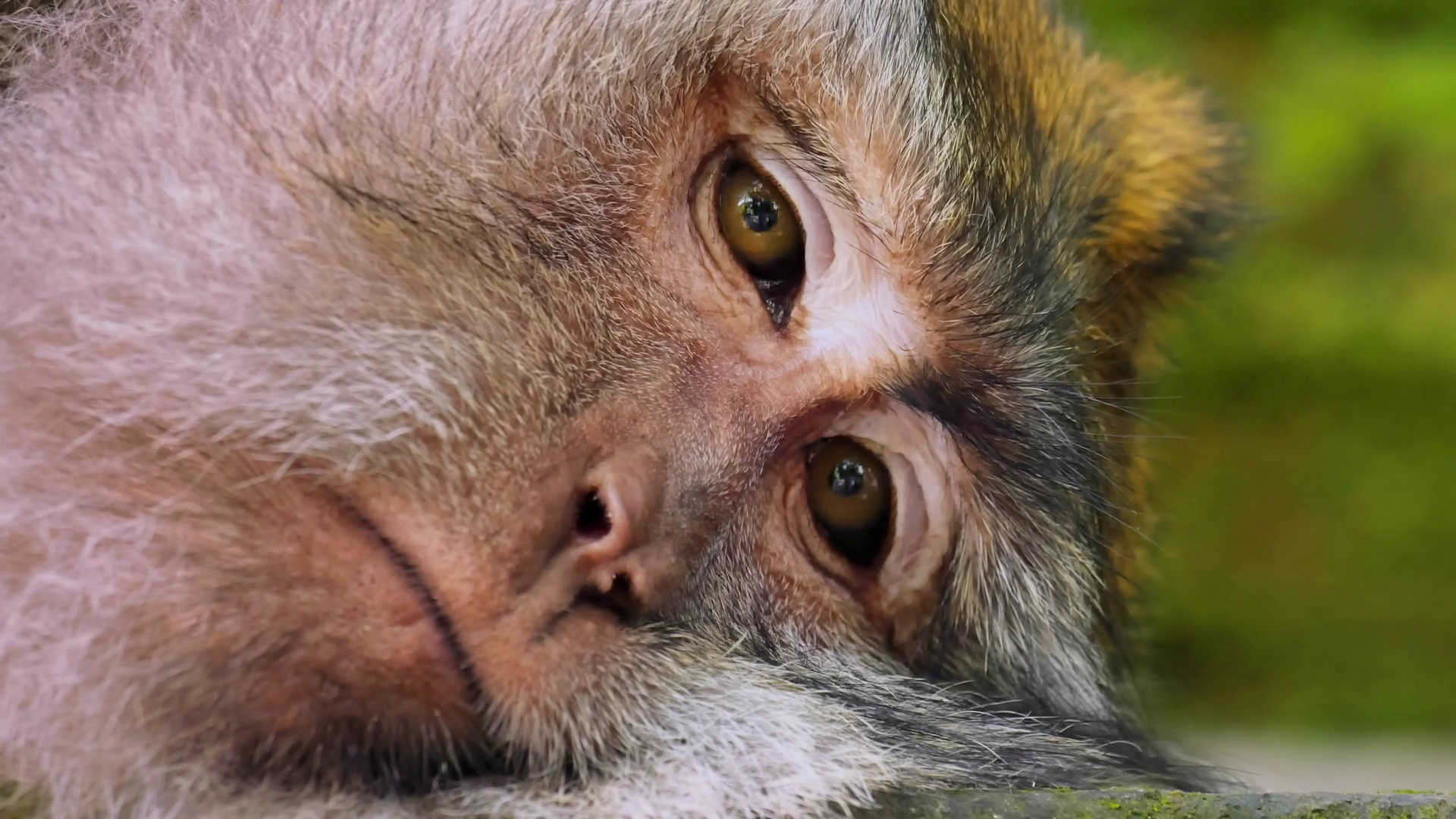 Funny monkey taking a nap and tries to sleep. Close-up view of ...