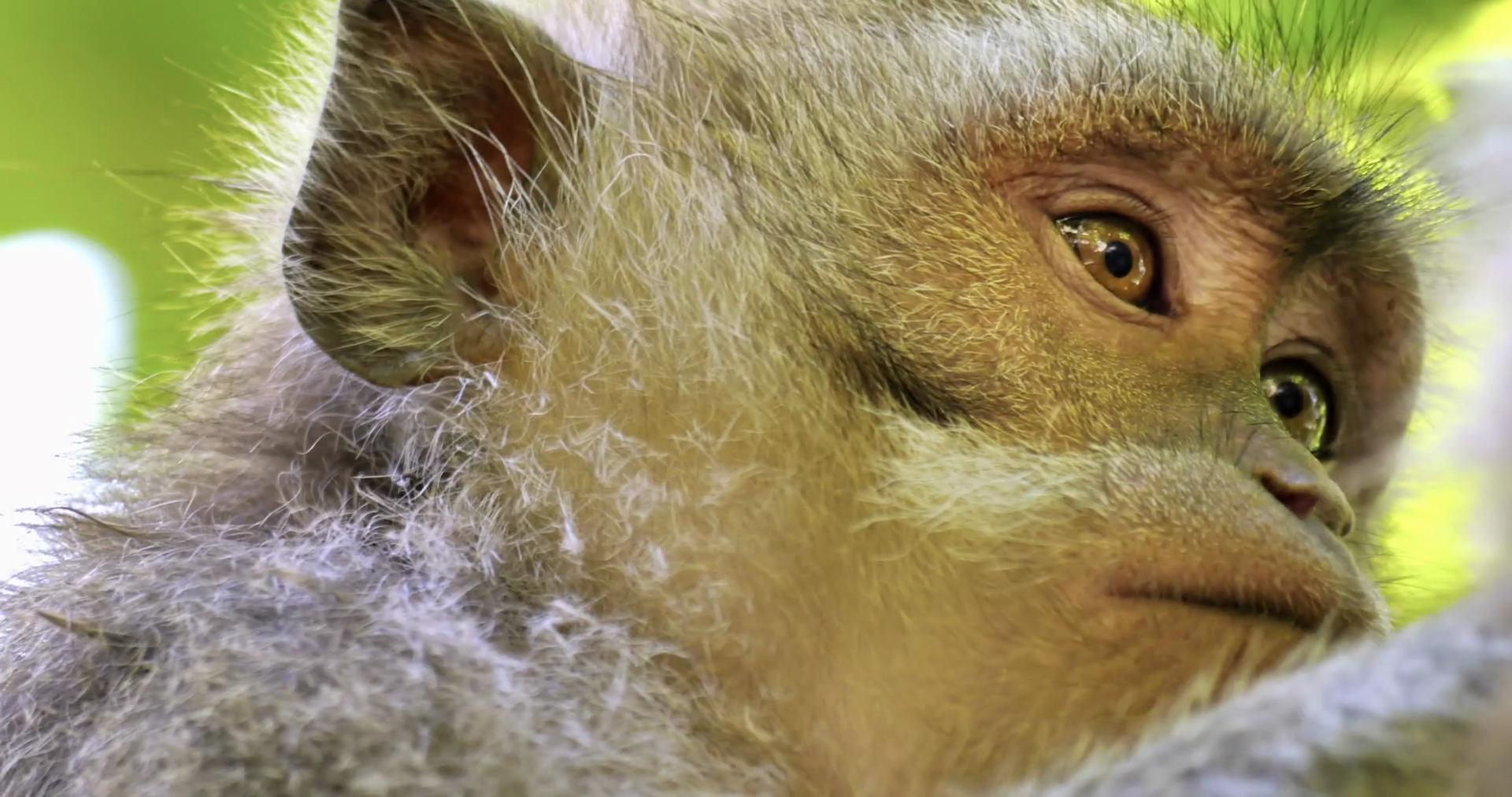 Close up eyes and face of asian macaque monkey in wildlife of ...