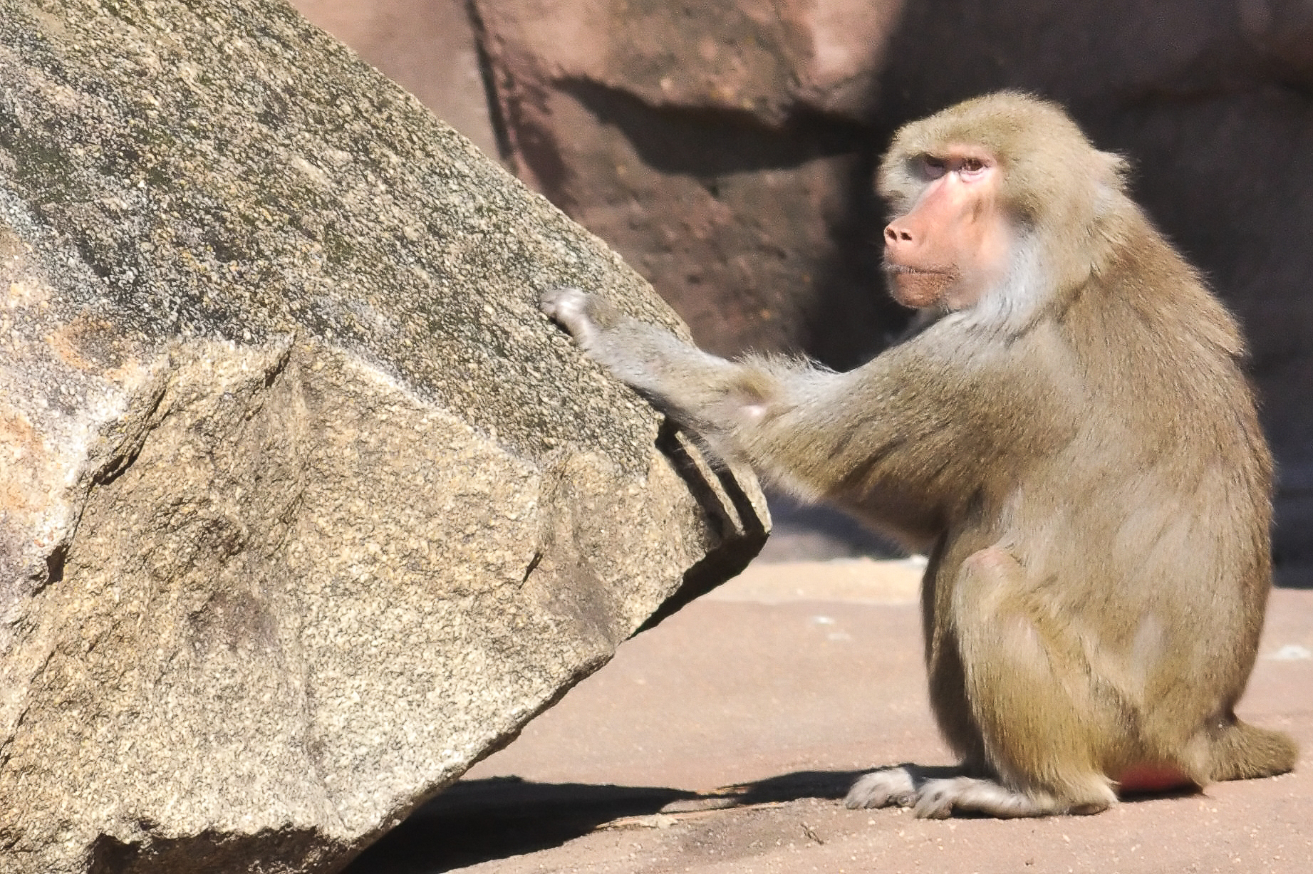 Monkey percussion, Animal, Ape, Chimp, Drummer, HQ Photo