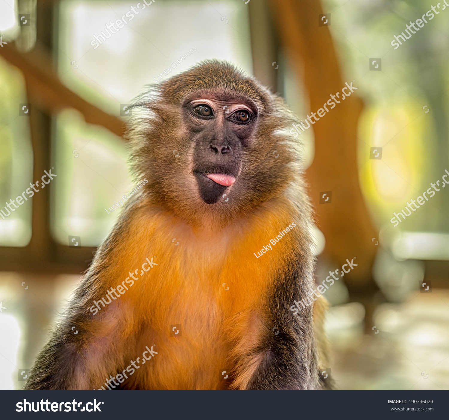 Funny Capuchin Monkey Posing Tongue Outside Stock Photo 190796024 ...