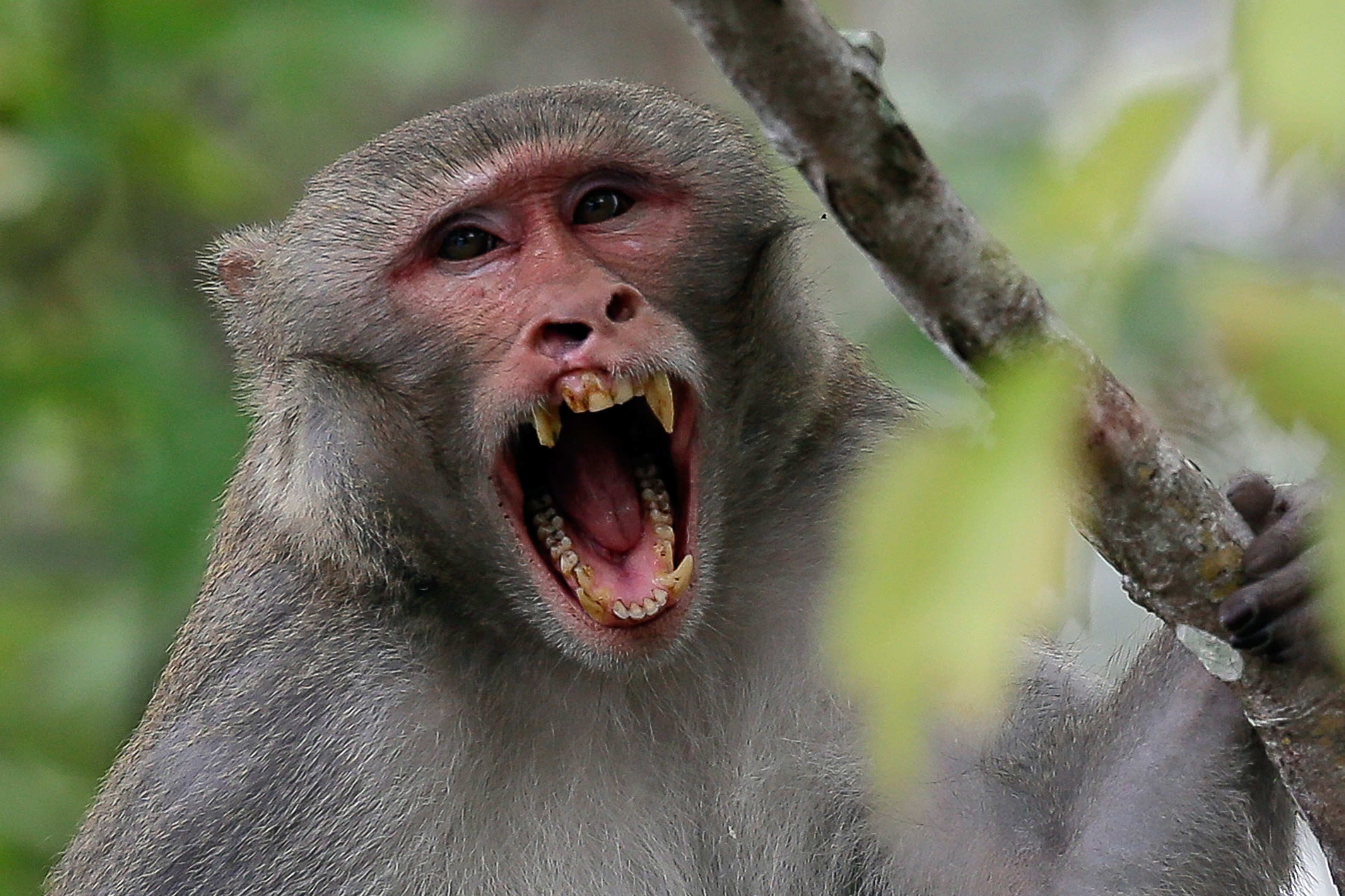 Florida looks to remove virus-excreting wild monkeys