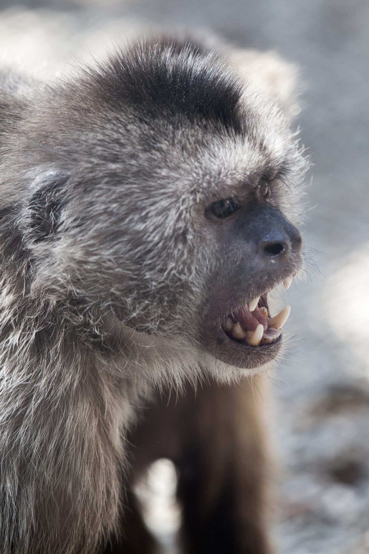 Screaming Monkey Free Stock Photo - Public Domain Pictures