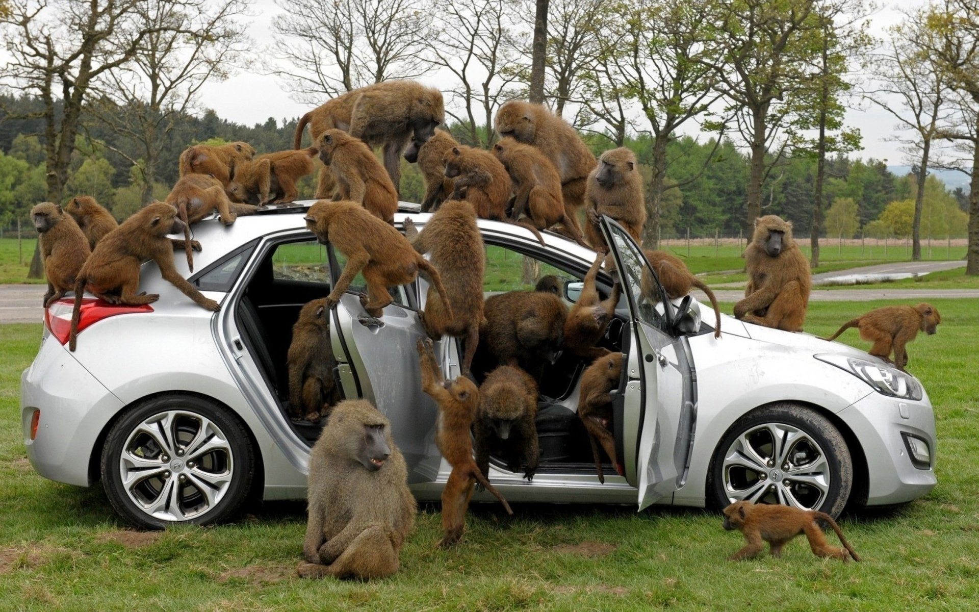 6 Baboon HD Wallpapers | Background Images - Wallpaper Abyss